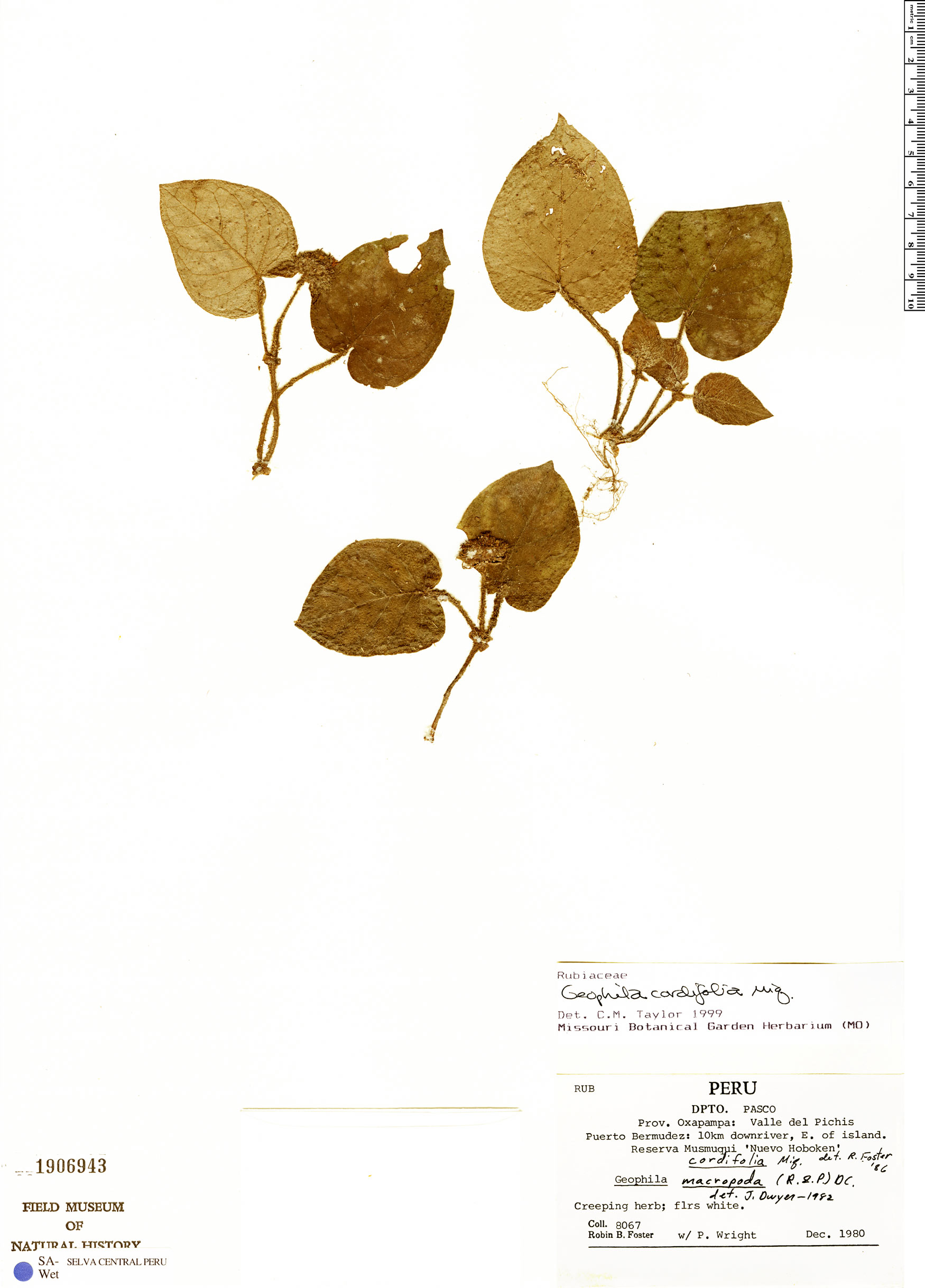 Specimen: Geophila cordifolia