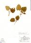 Geophila cordifolia Miq., Peru, R. B. Foster 8067, F