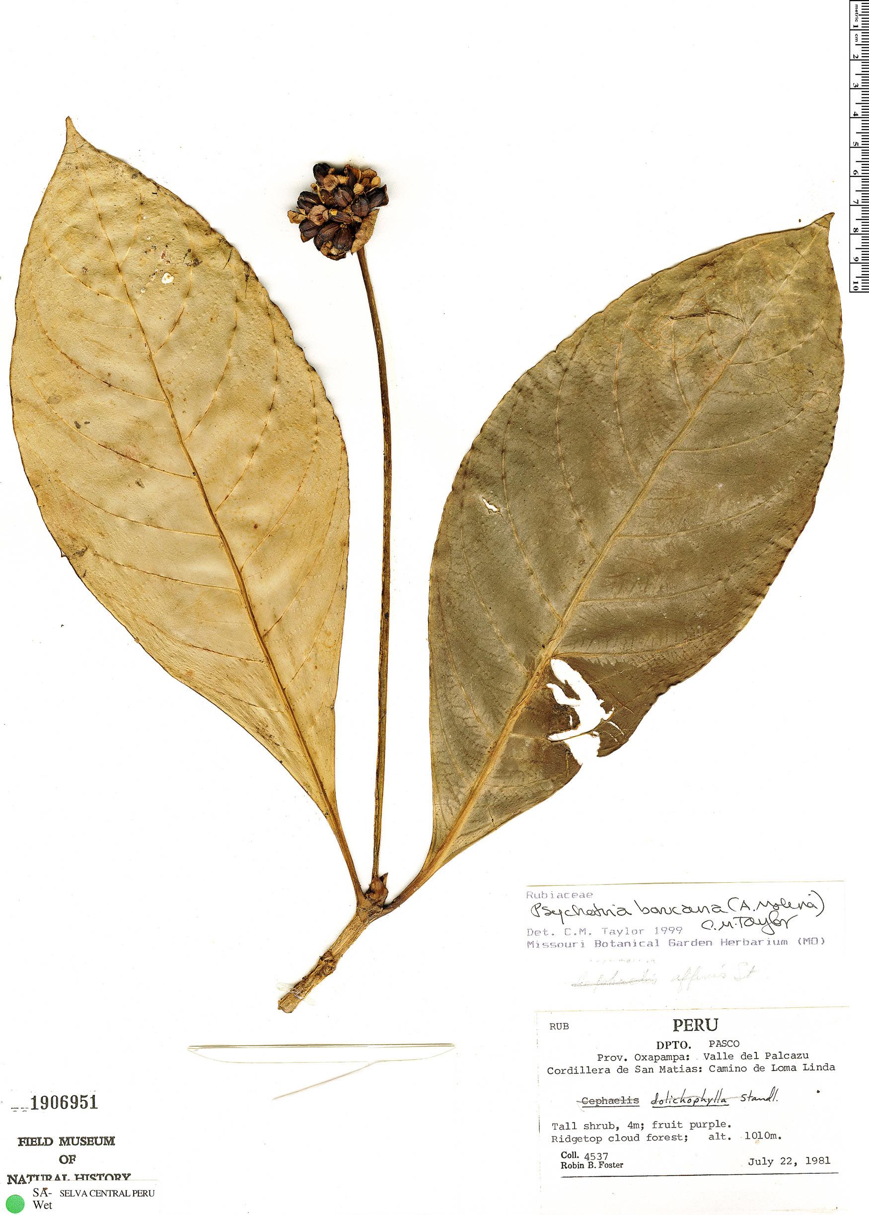 Specimen: Carapichea affinis