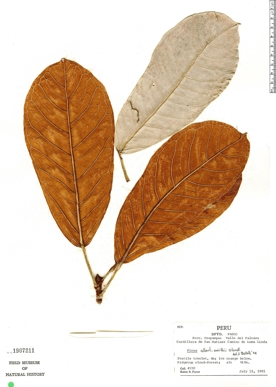 Specimen: Ficus albert-smithii