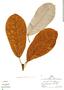 Ficus albert-smithii Standl., Peru, R. B. Foster 4550, F