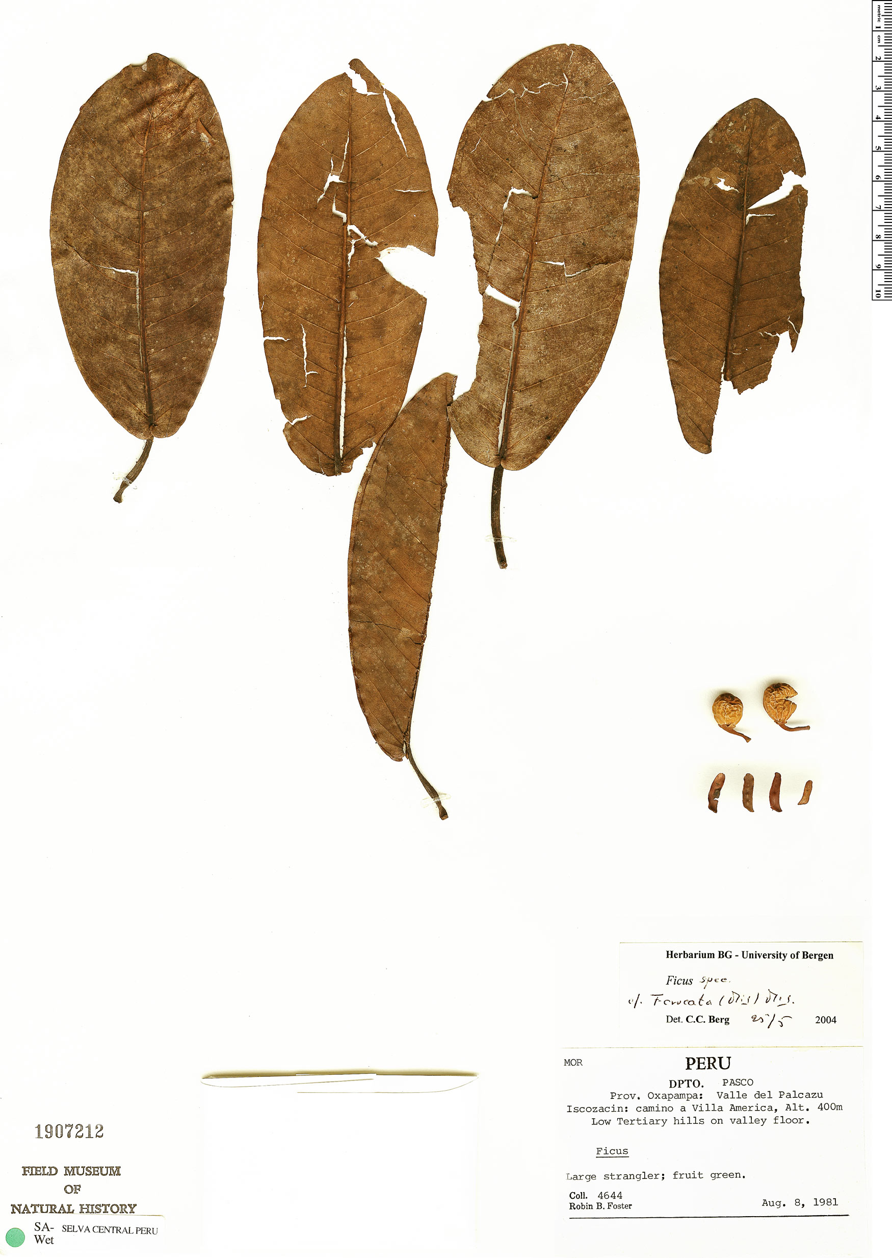 Specimen: Ficus crocata