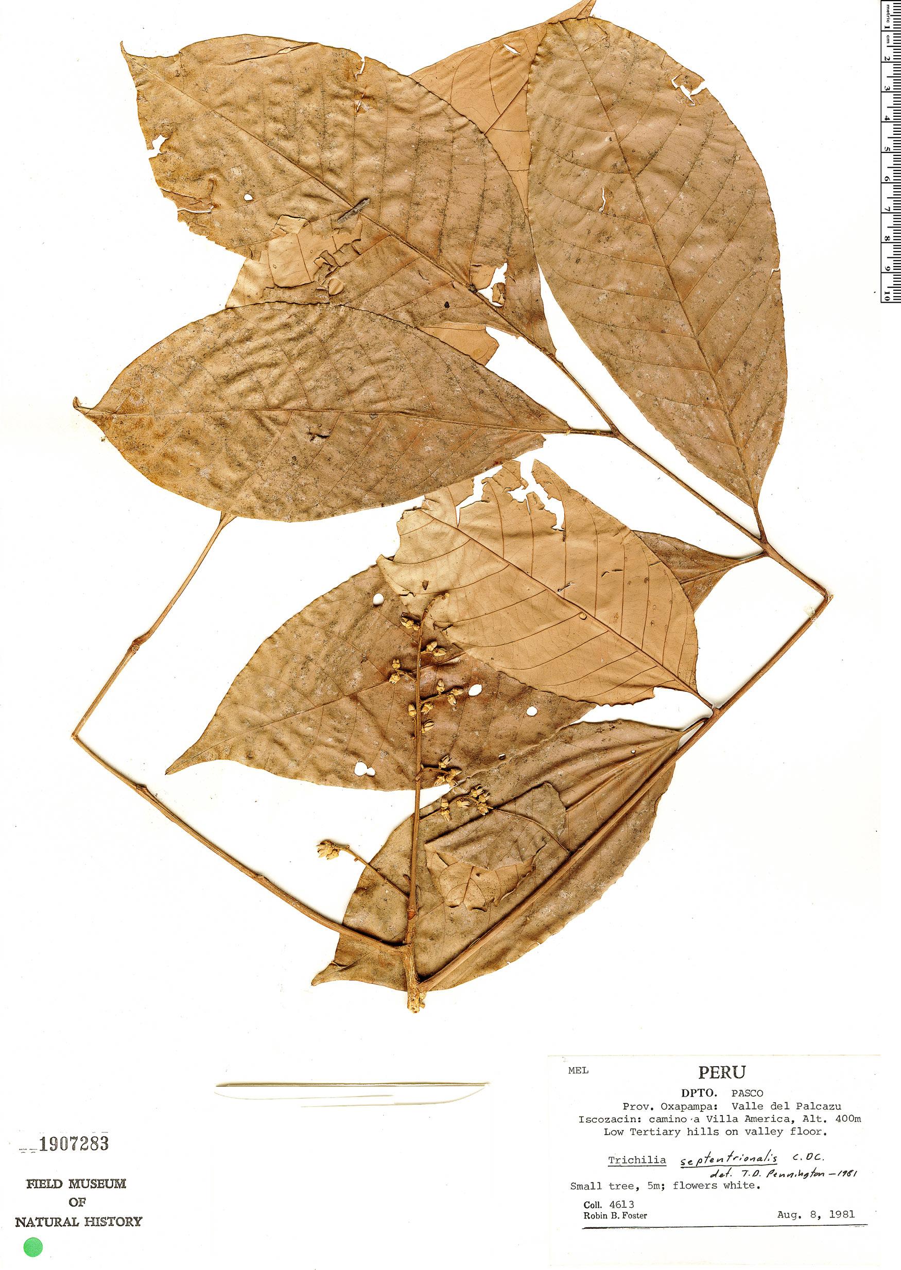 Specimen: Trichilia septentrionalis