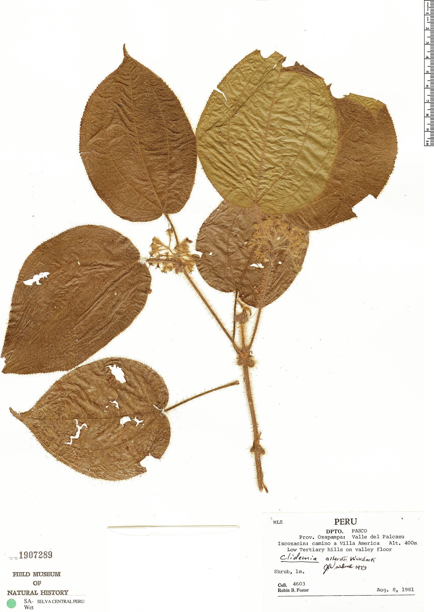 Espécimen: Clidemia allardii