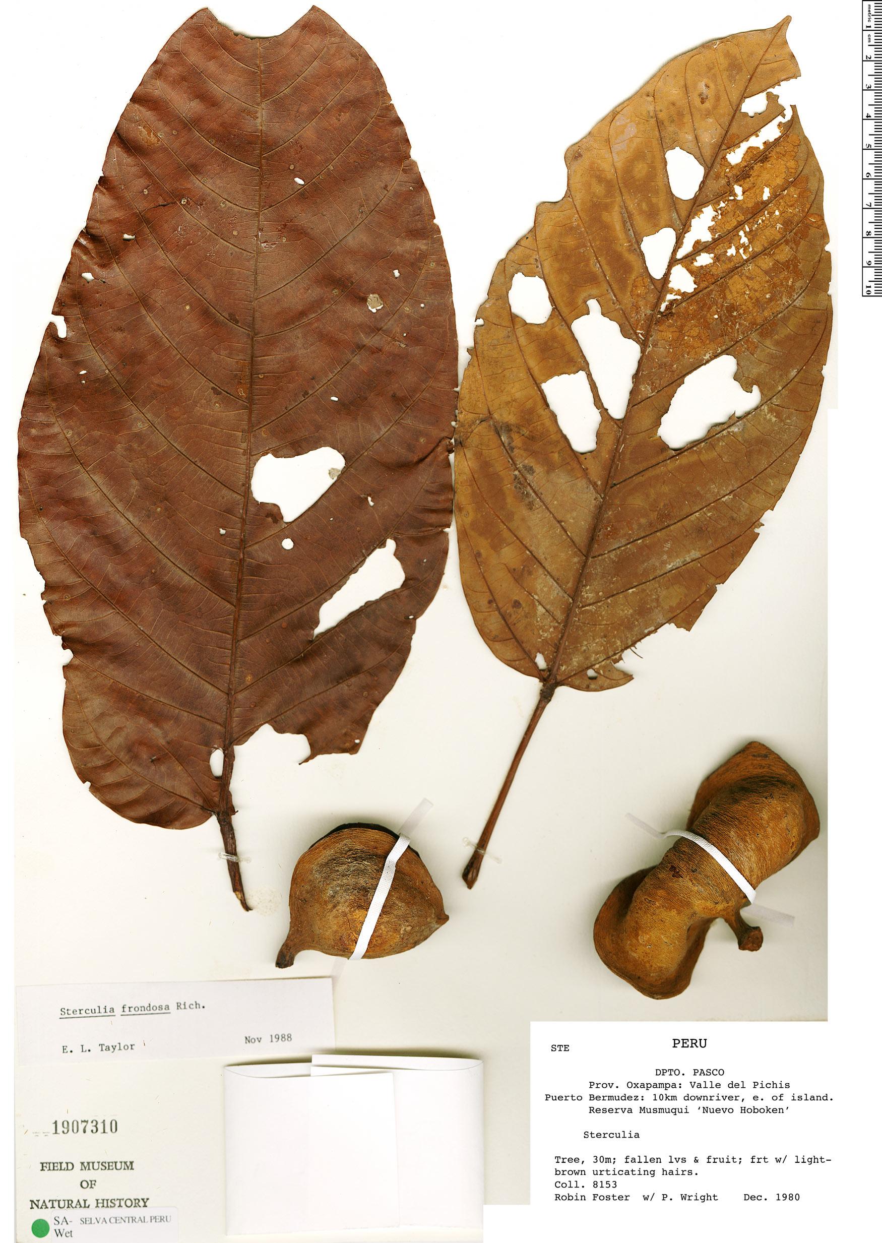 Specimen: Sterculia frondosa