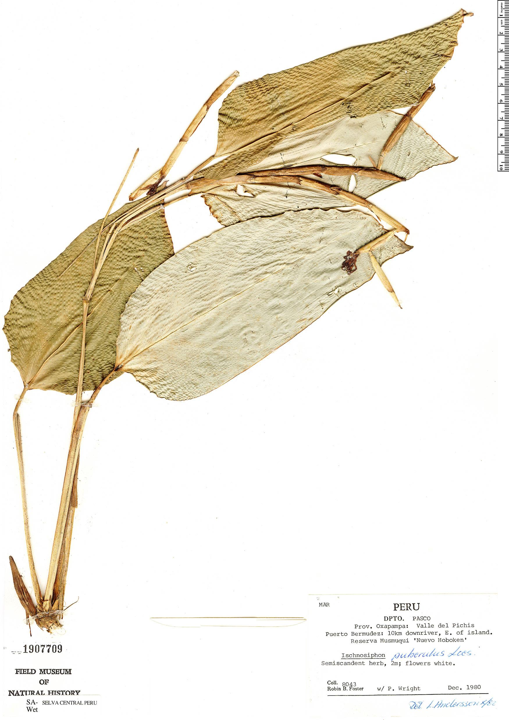 Specimen: Ischnosiphon puberulus