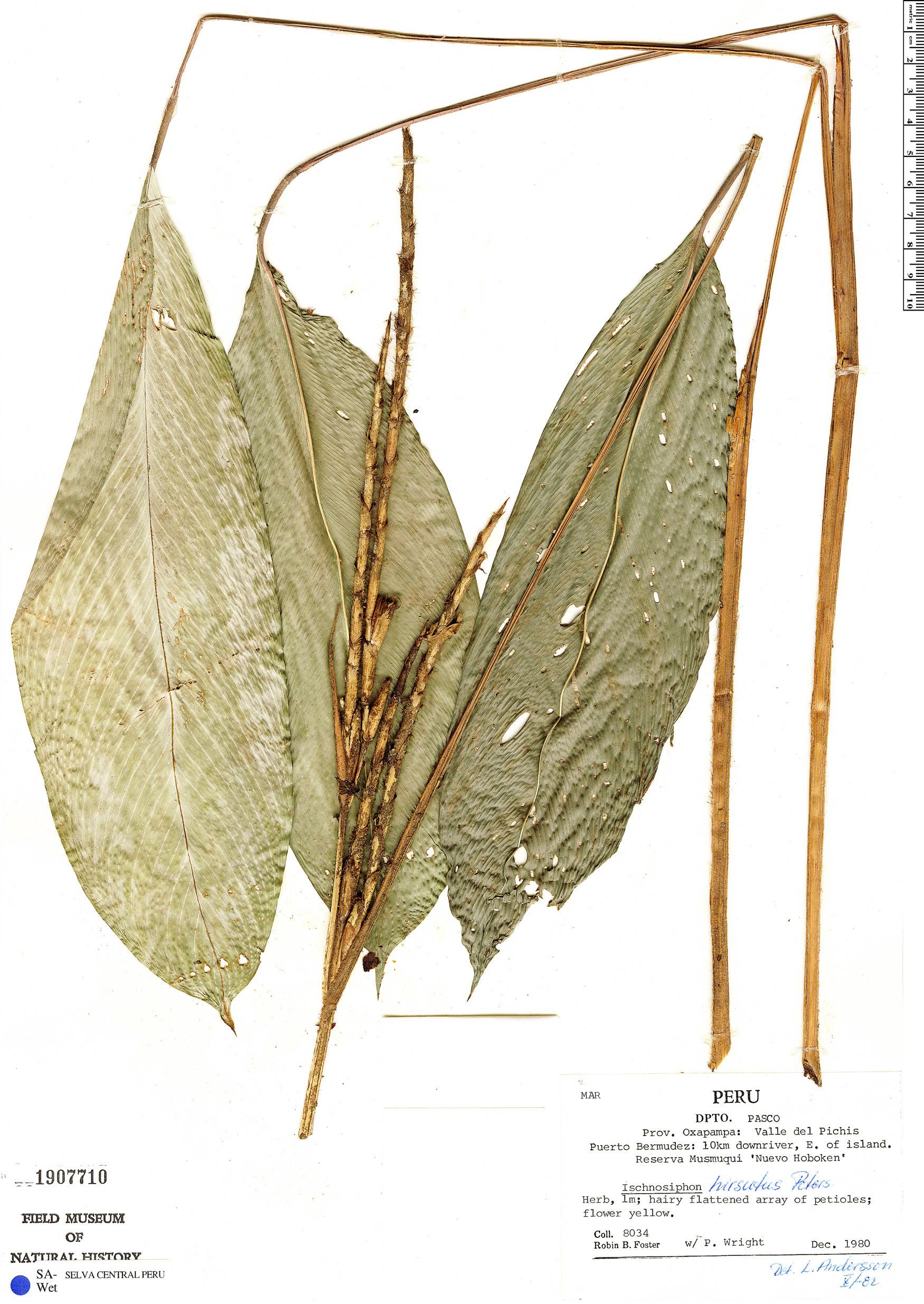 Specimen: Ischnosiphon hirsutus