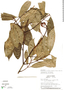 Image of Chrysochlamys tenuifolia