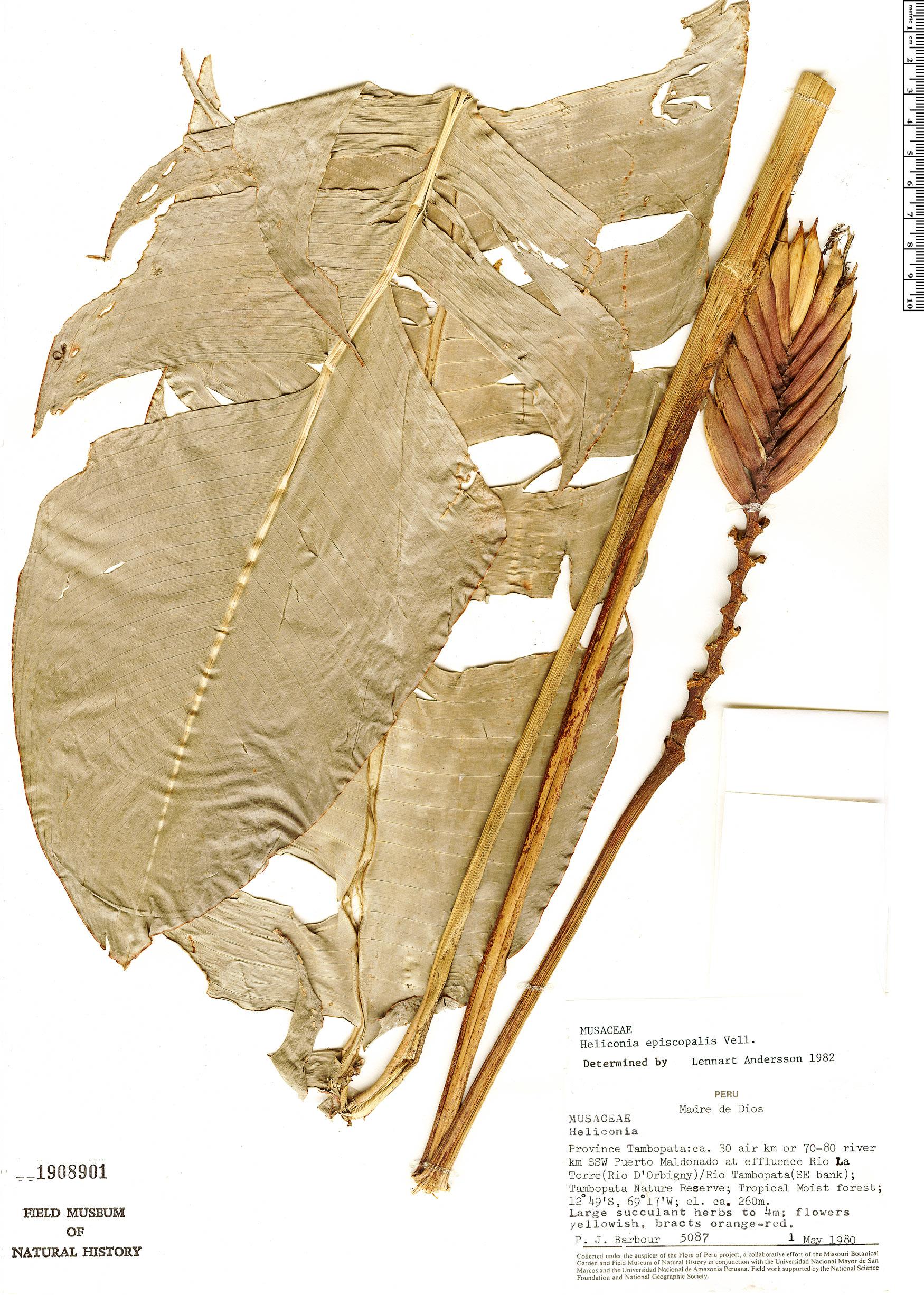Specimen: Heliconia episcopalis
