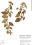 Tournefortia hirsutissima image