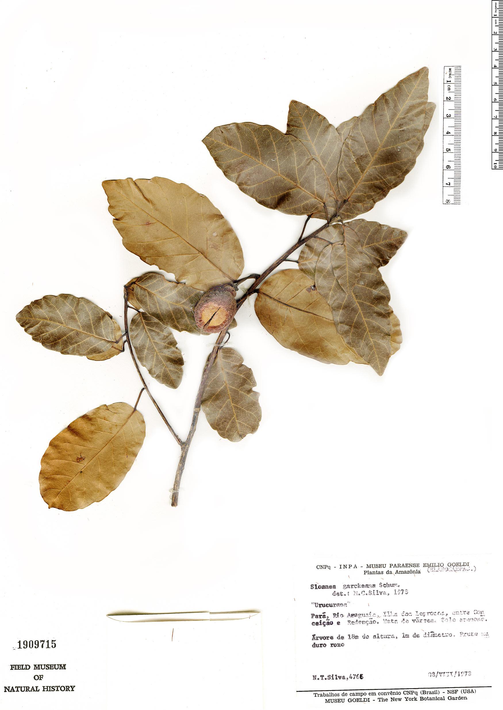 Specimen: Sloanea uniflora