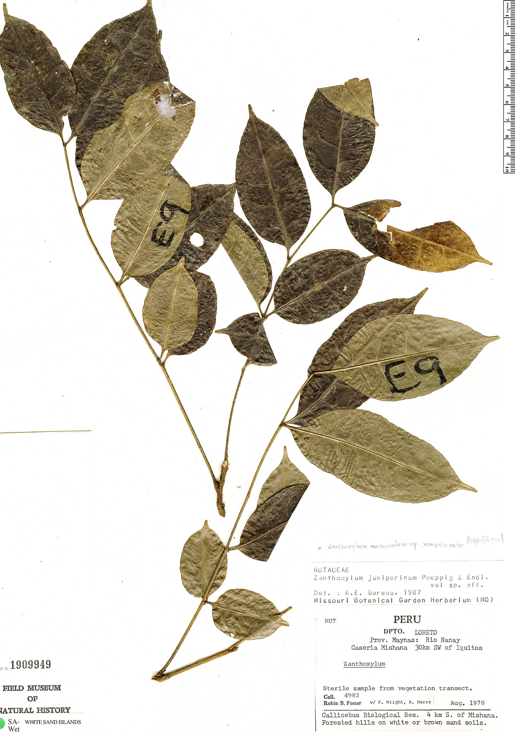 Specimen: Zanthoxylum juniperinum