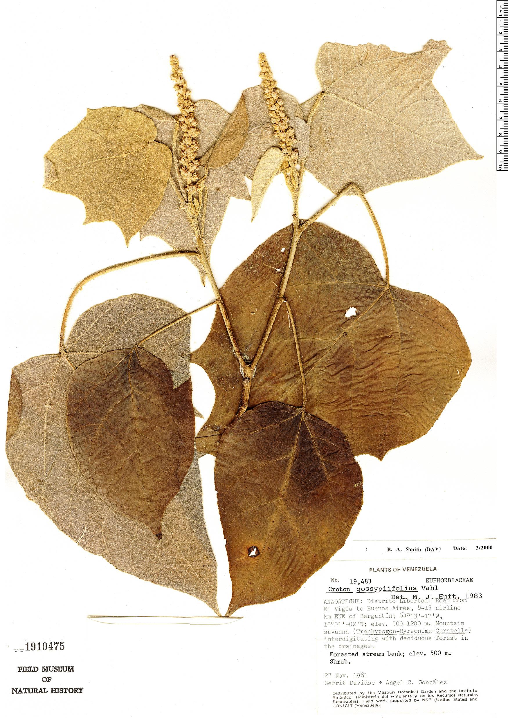 Specimen: Croton gossypiifolius