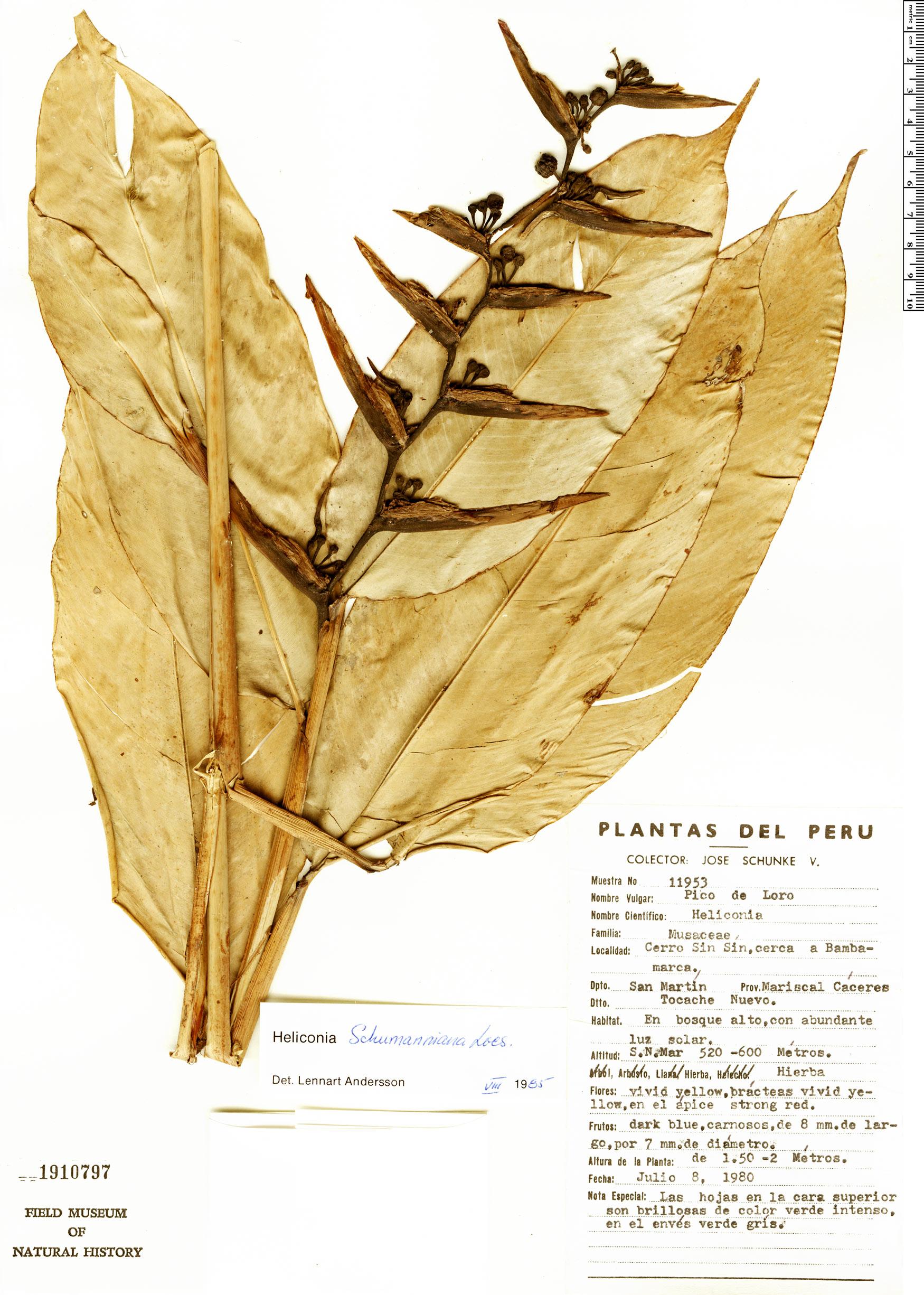 Specimen: Heliconia schumanniana