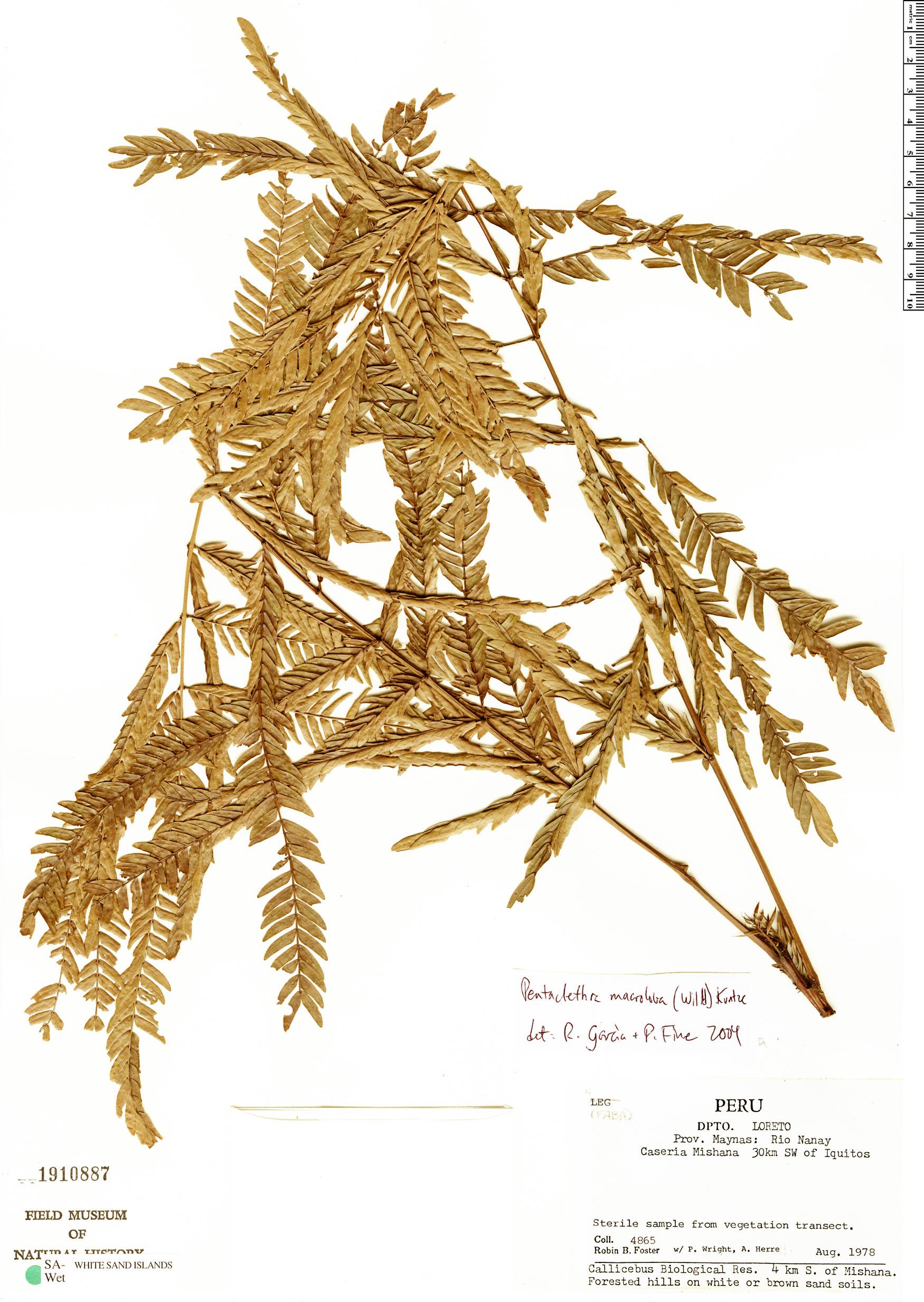Specimen: Jacqueshuberia loretensis