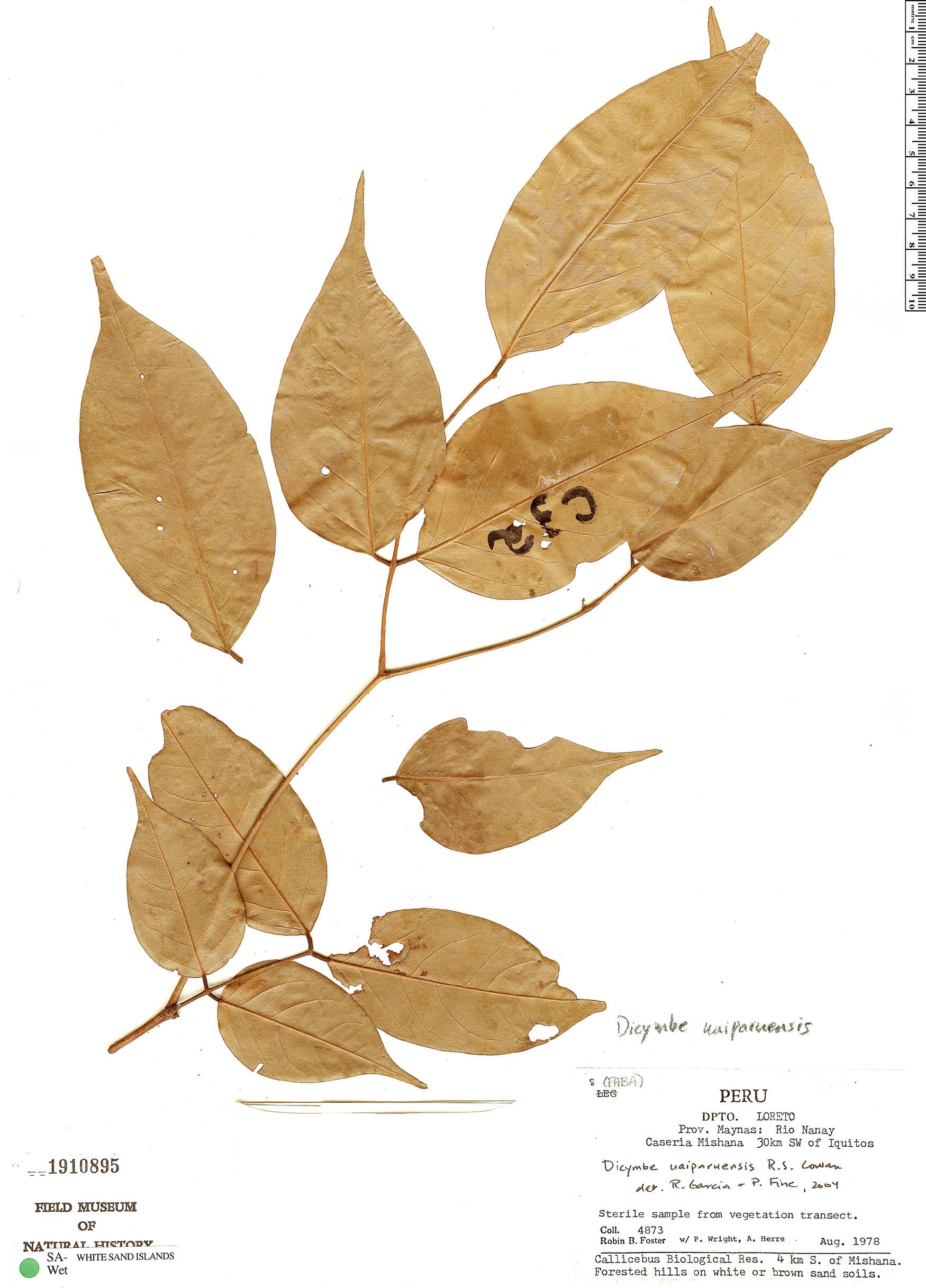 Specimen: Dicymbe uaiparuensis