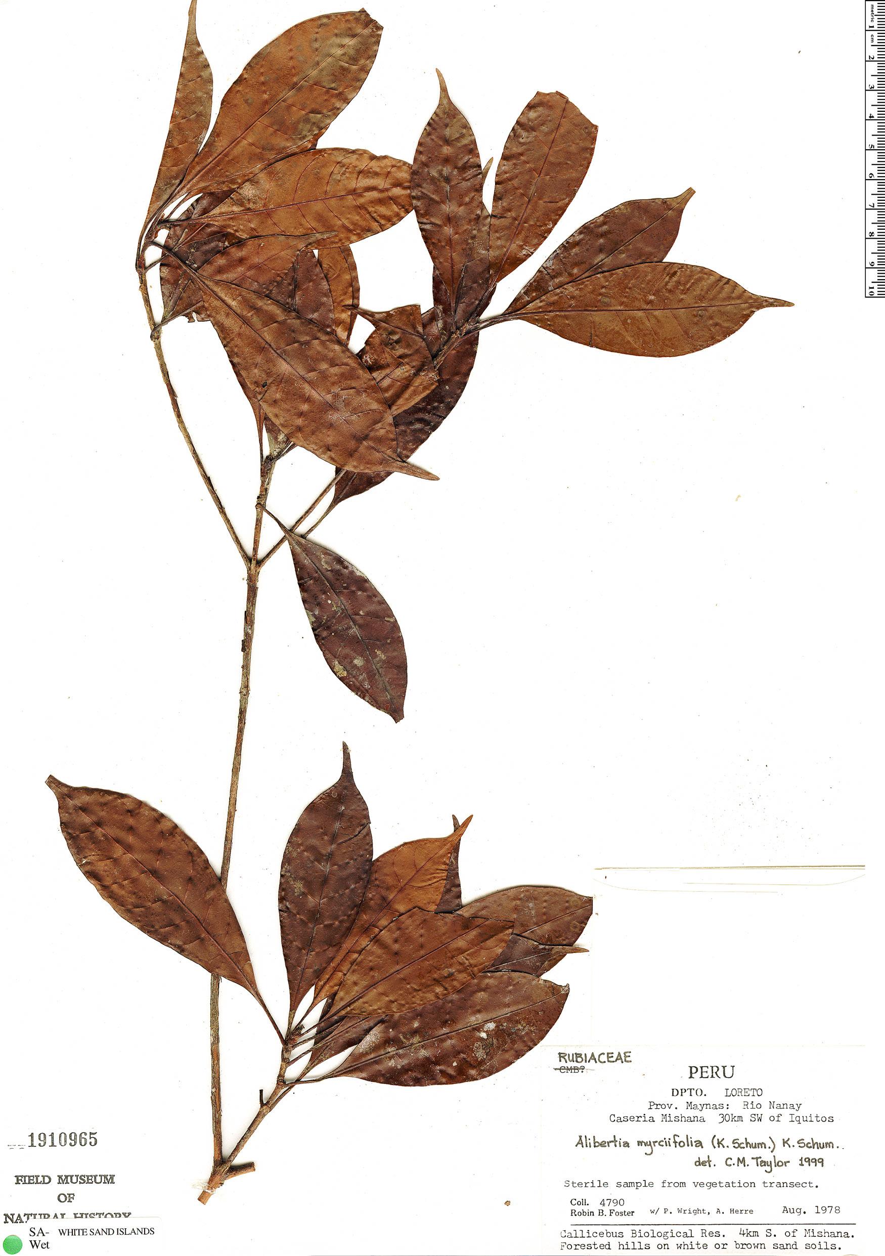 Specimen: Cordiera myrciifolia