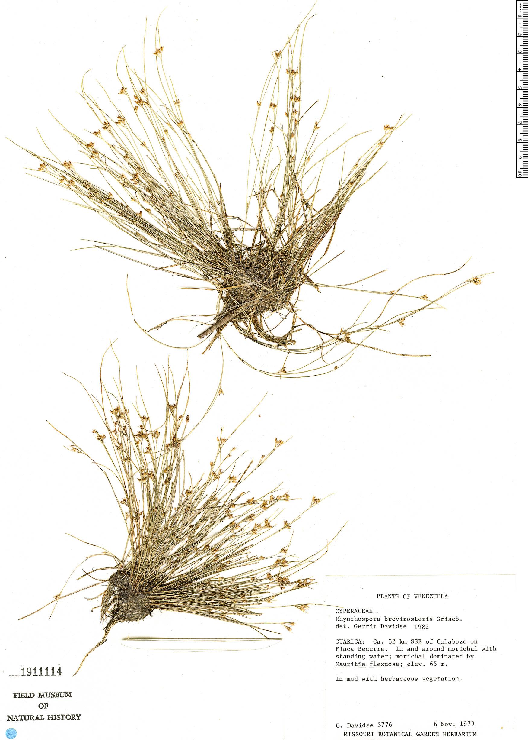 Rhynchospora brevirostris image