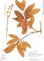 Paullinia grandifolia Benth., Peru, A. H. Gentry 16682, F