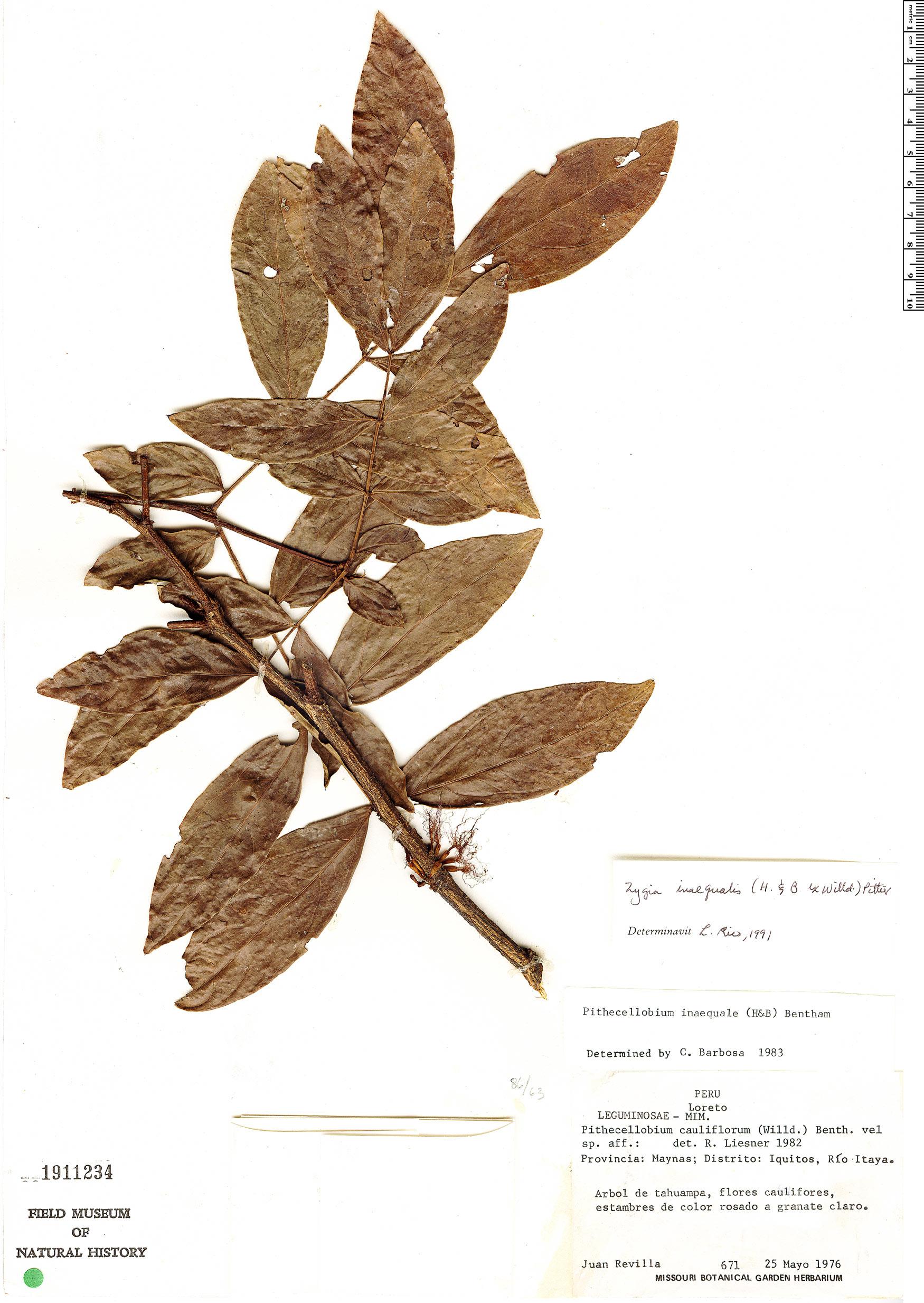 Specimen: Zygia inaequalis