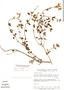 Salvia microphylla Kunth, Mexico, B. F. Hansen 7679, F