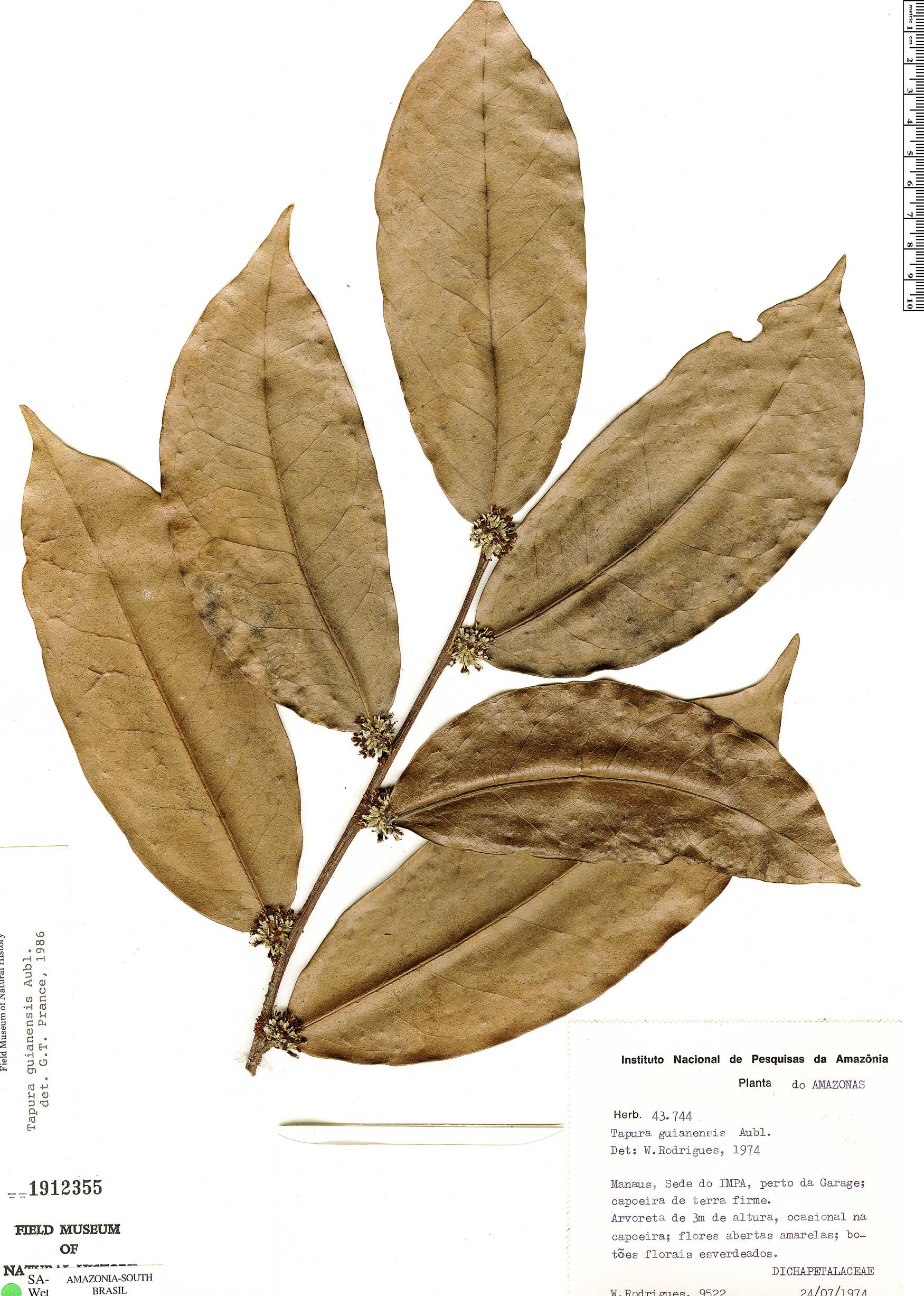 Specimen: Tapura guianensis