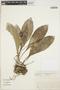 Anthurium wagenerianum K. Koch & C. D. Bouché, Venezuela, T. Ruíz Z. 3726, F