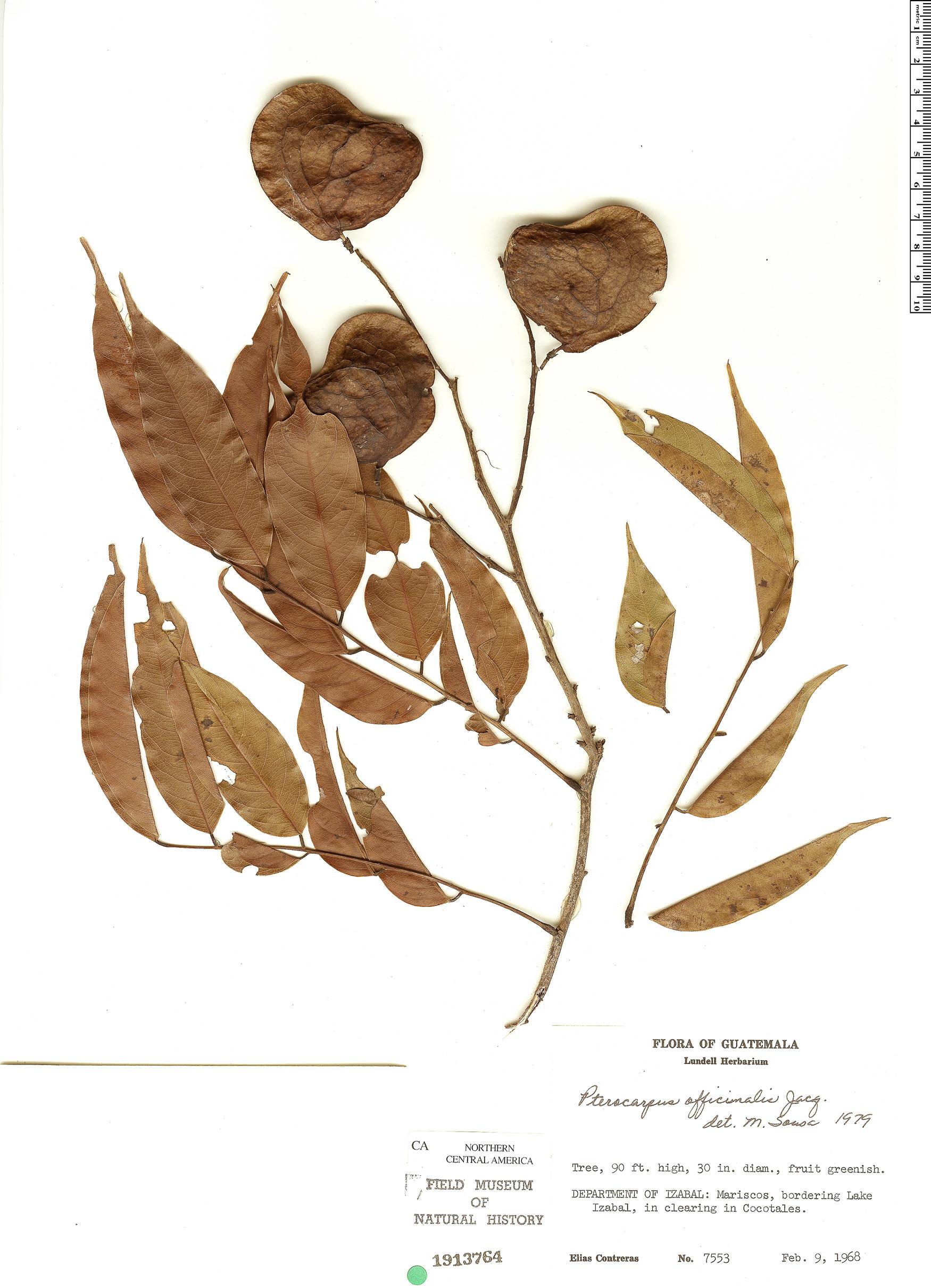 Pterocarpus officinalis image