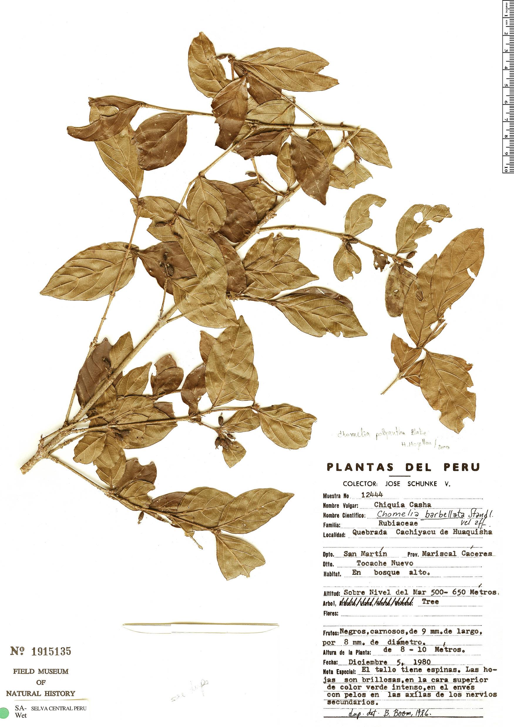 Espécimen: Chomelia polyantha