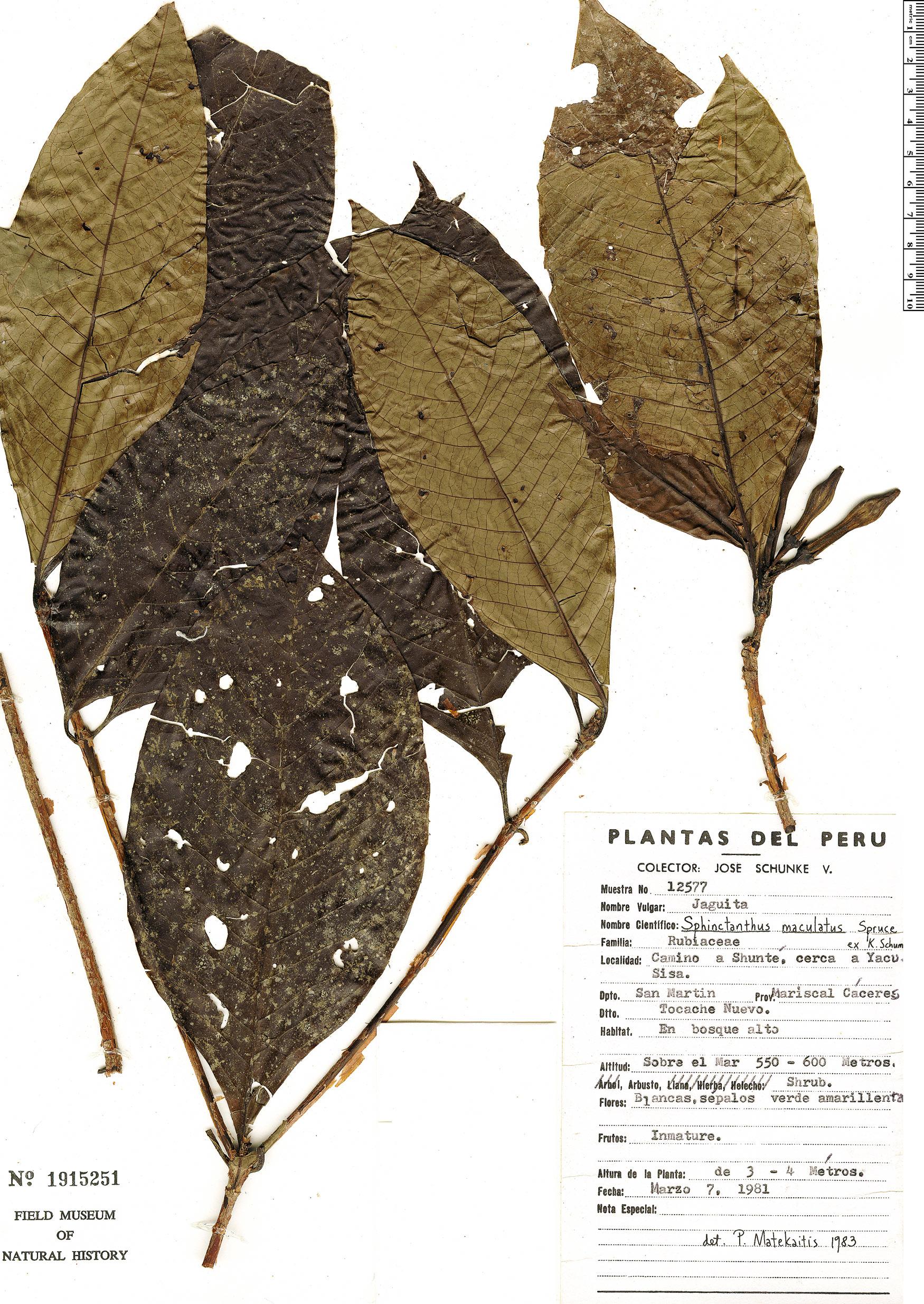 Specimen: Sphinctanthus maculatus