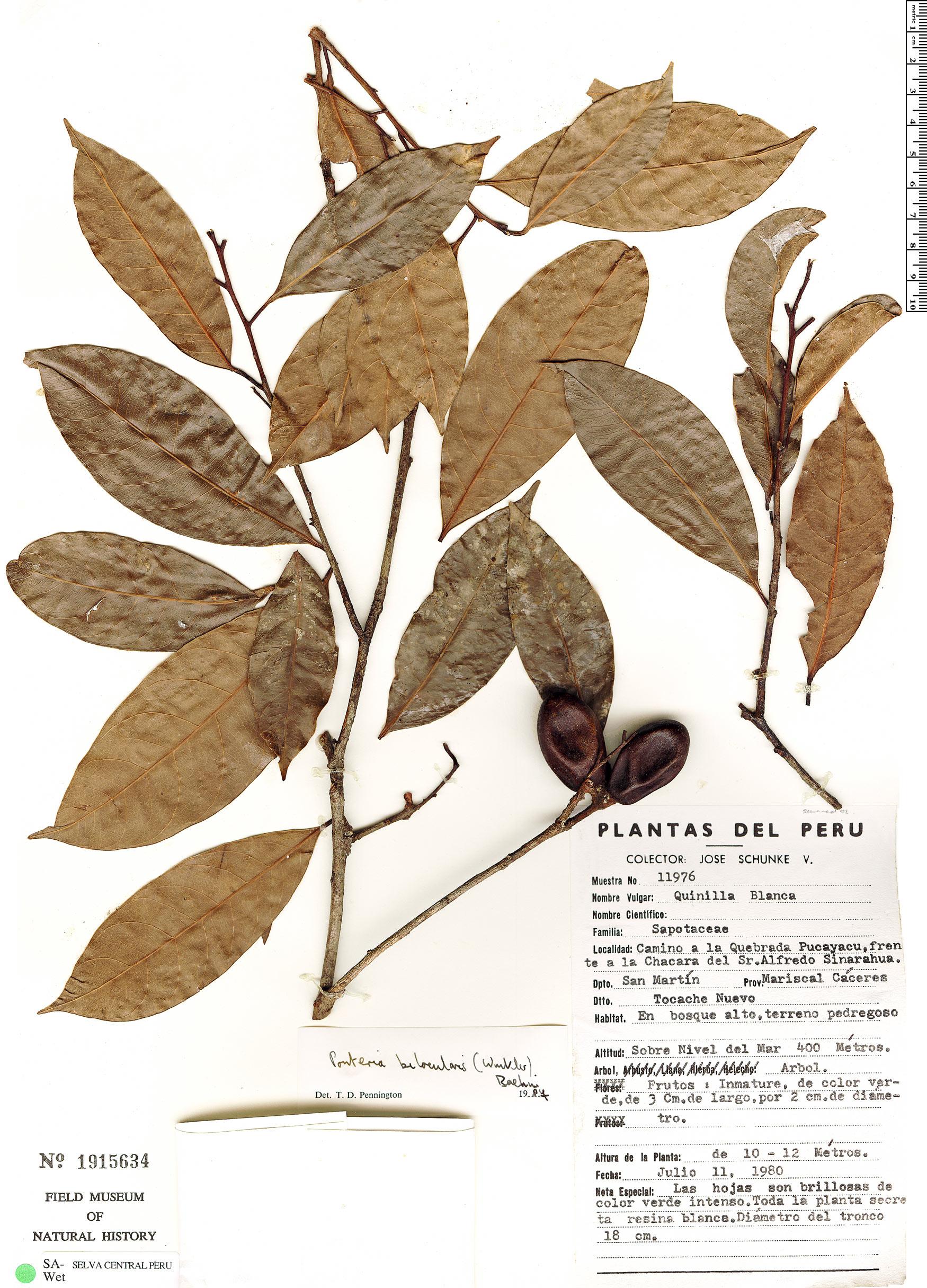 Specimen: Pouteria bilocularis