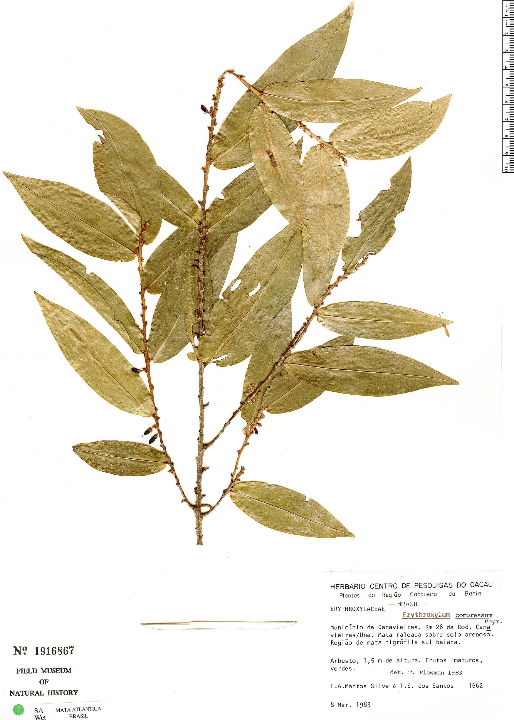 Specimen: Erythroxylum compressum