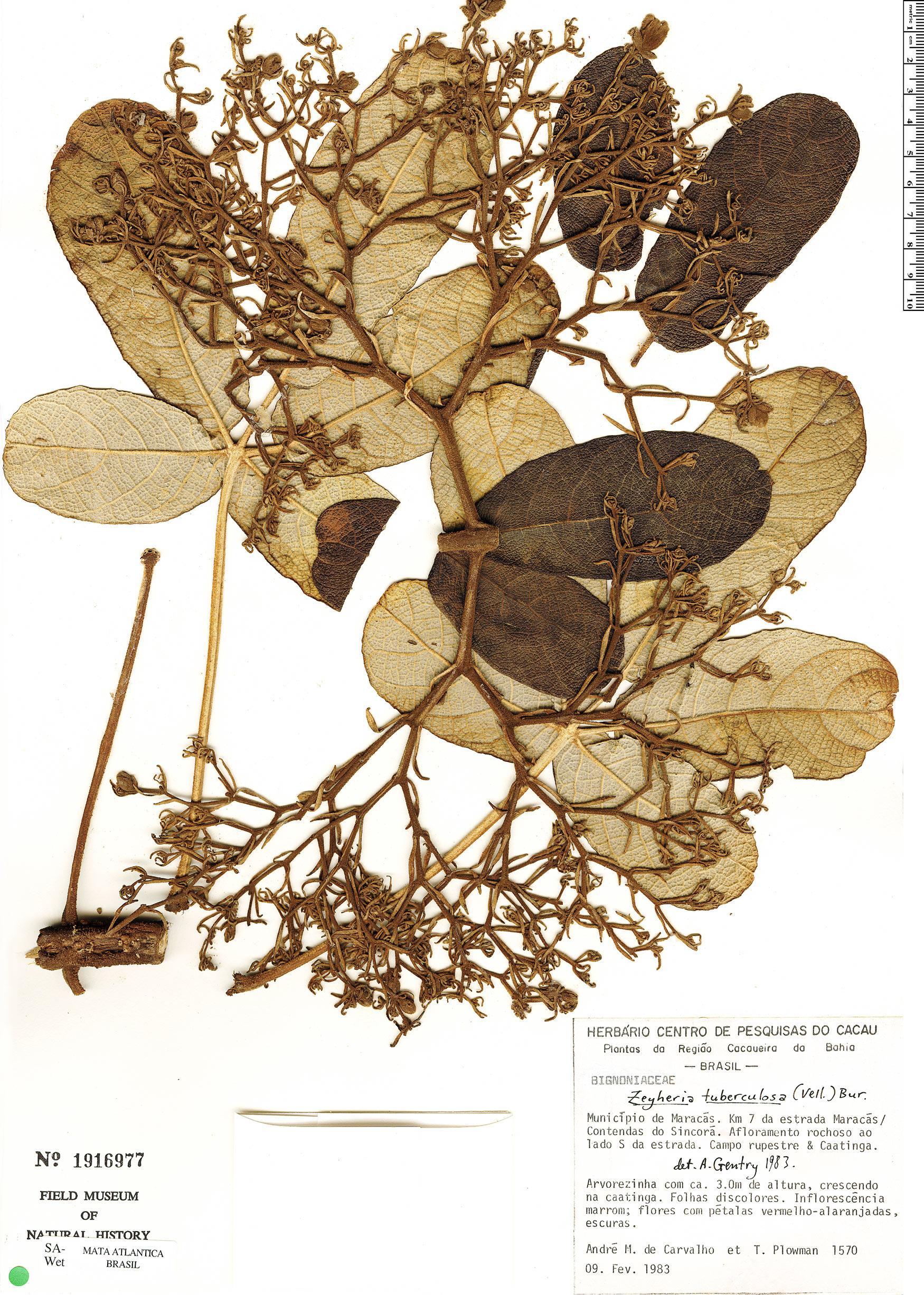 Specimen: Zeyheria tuberculosa