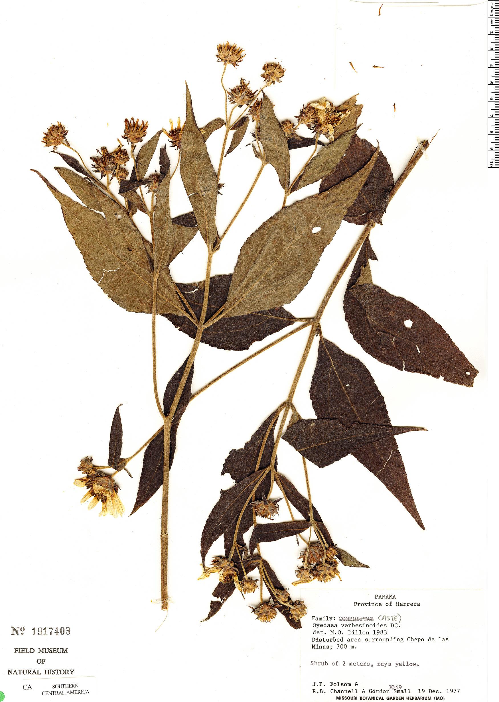 Espécime: Oyedaea verbesinoides