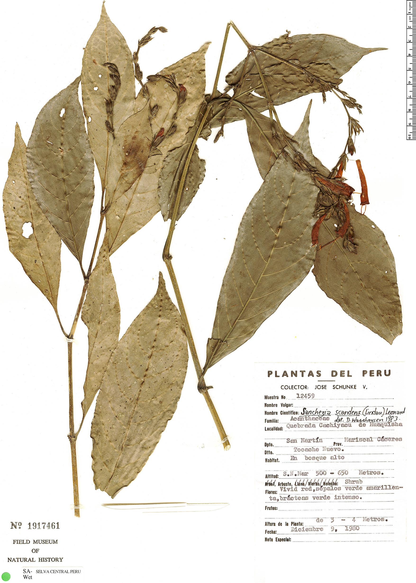 Specimen: Sanchezia scandens