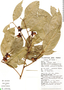 Heisteria spruceana Engl., Peru, J. Schunke Vigo 12467, F