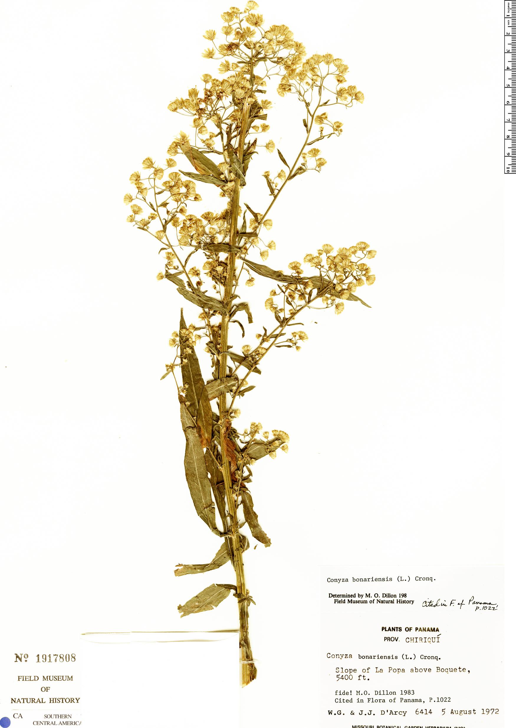 Espécimen: Conyza bonariensis
