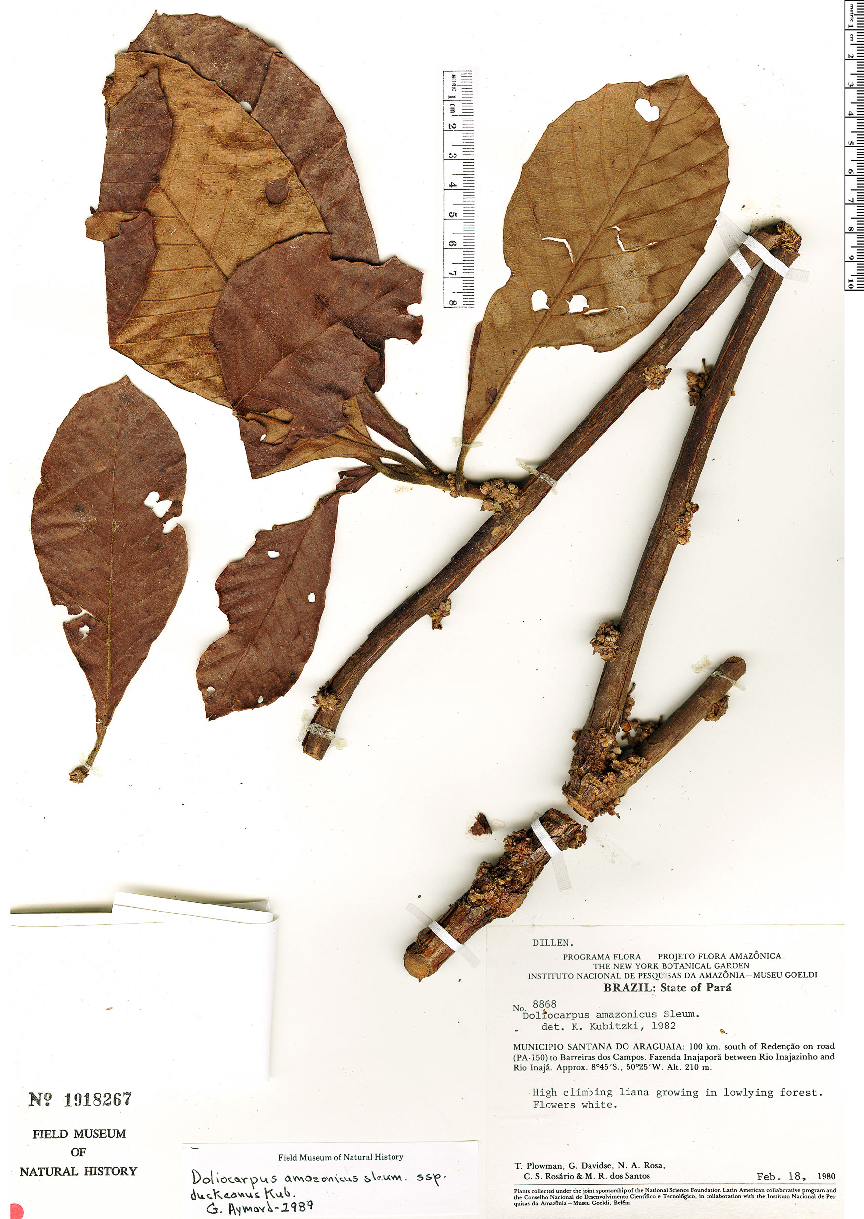 Espécime: Doliocarpus amazonicus