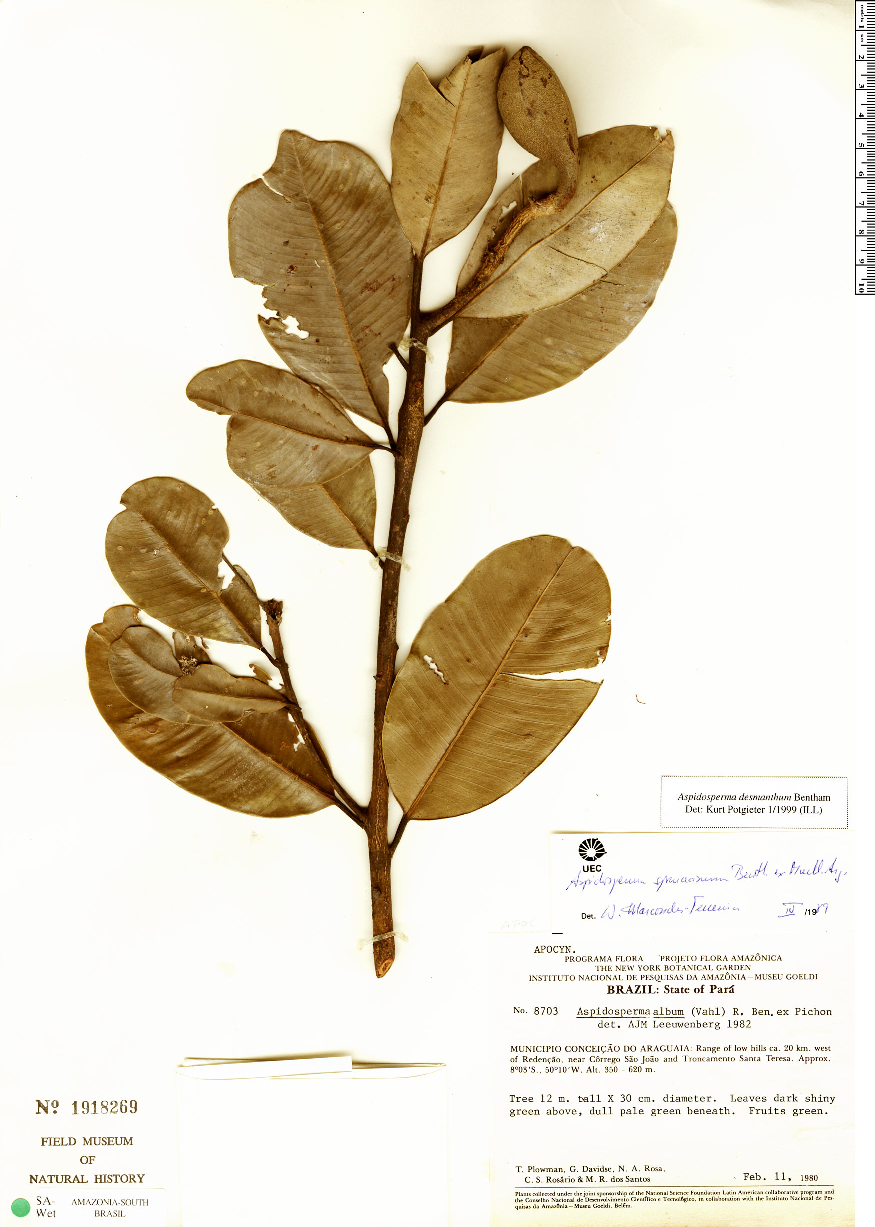 Espécime: Aspidosperma spruceanum
