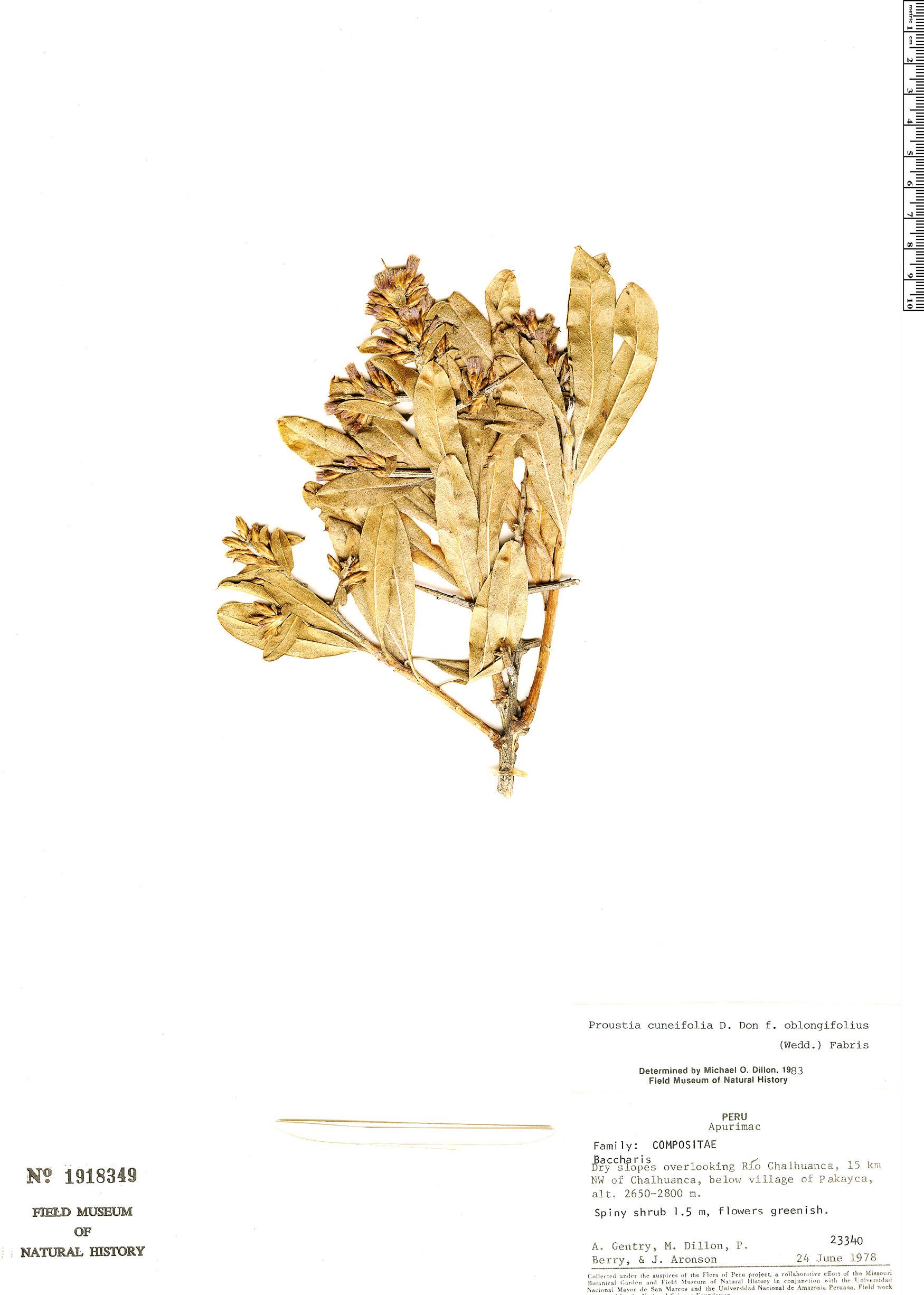 Specimen: Proustia cuneifolia