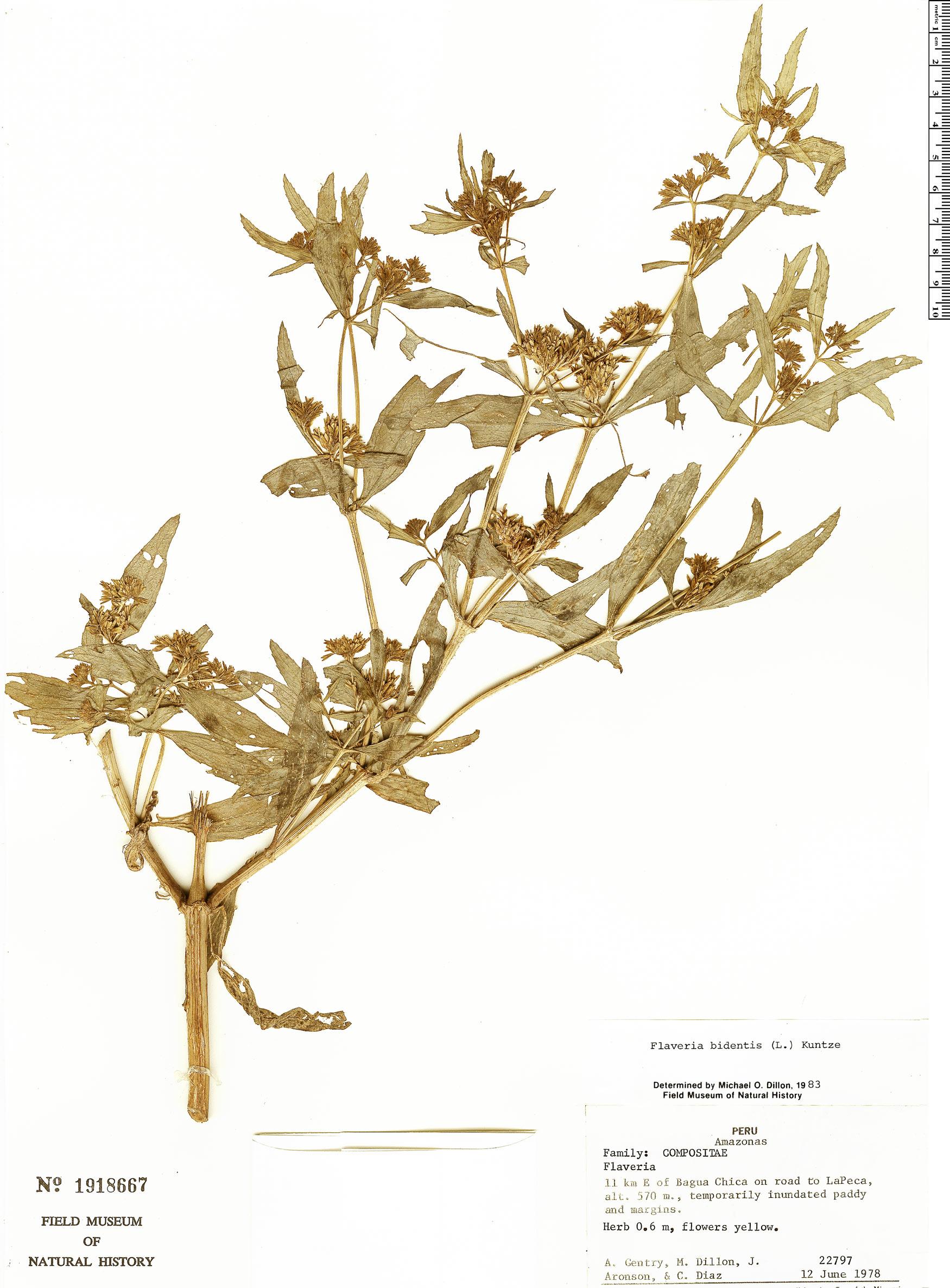 Specimen: Flaveria bidentis