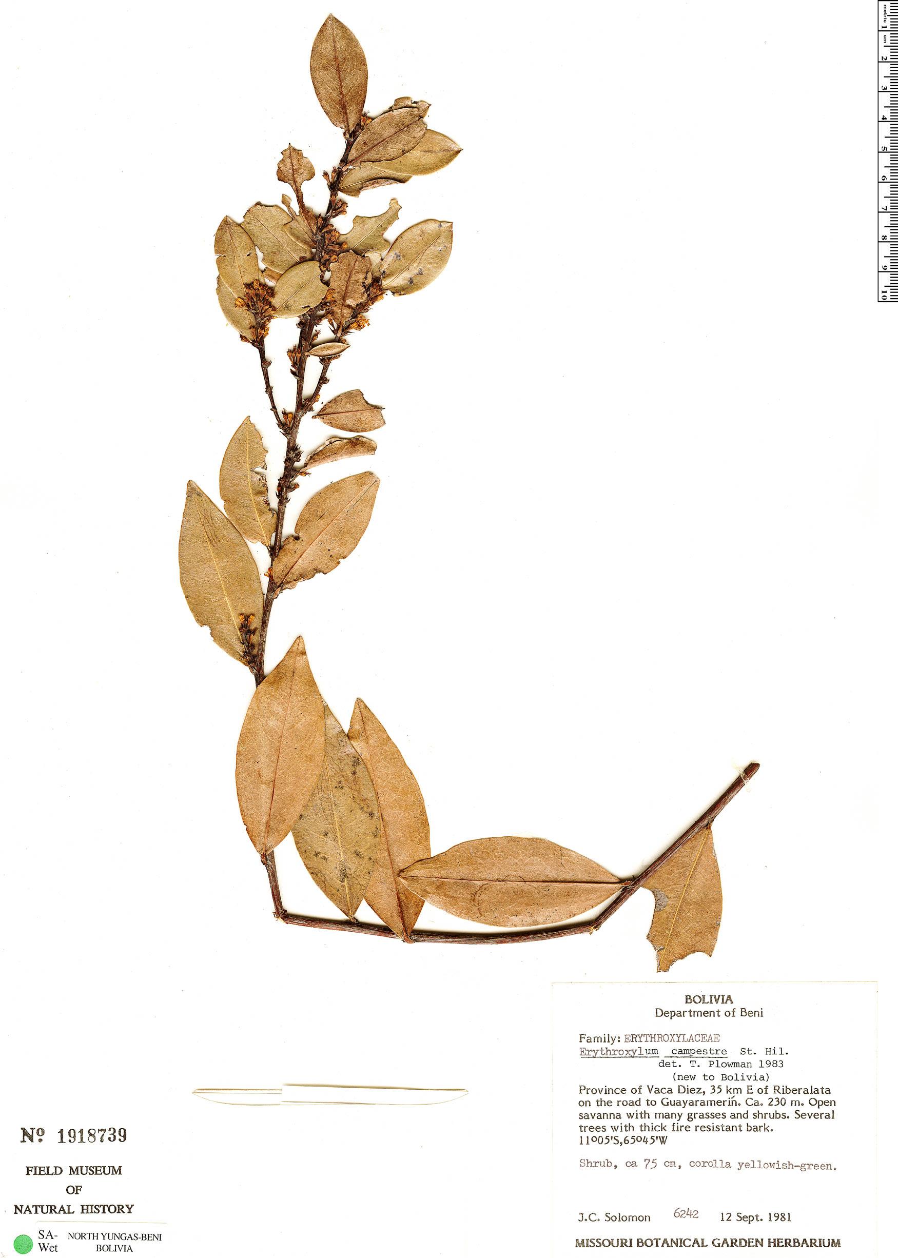 Espécimen: Erythroxylum campestre