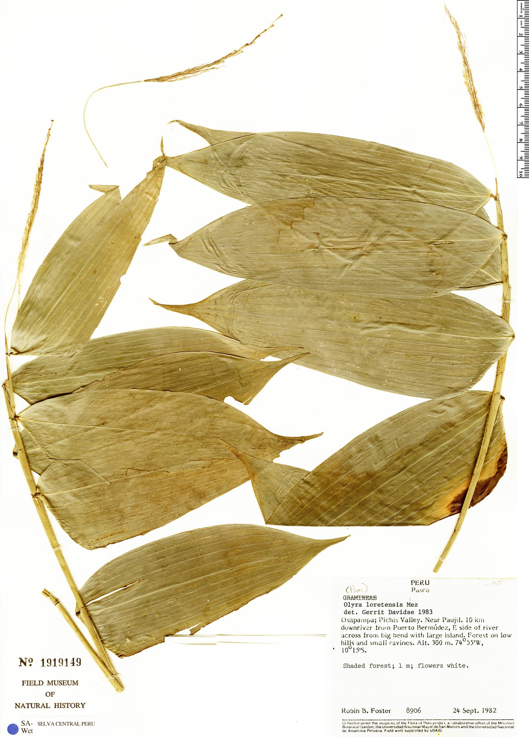 Specimen: Olyra maranonensis