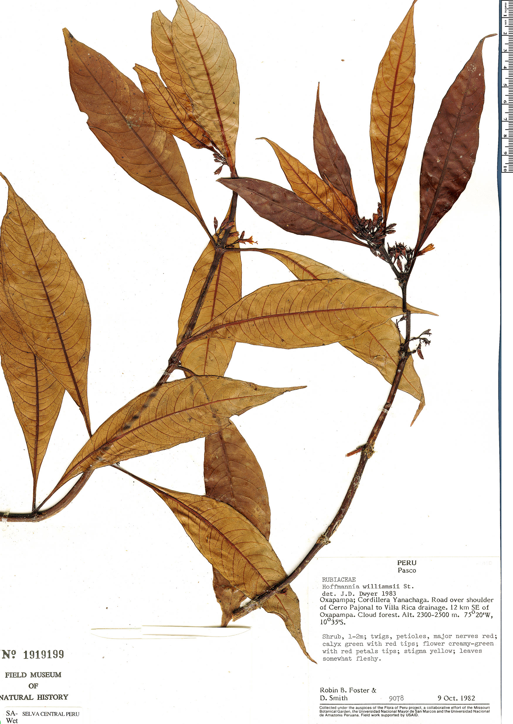 Specimen: Hoffmannia coriacea