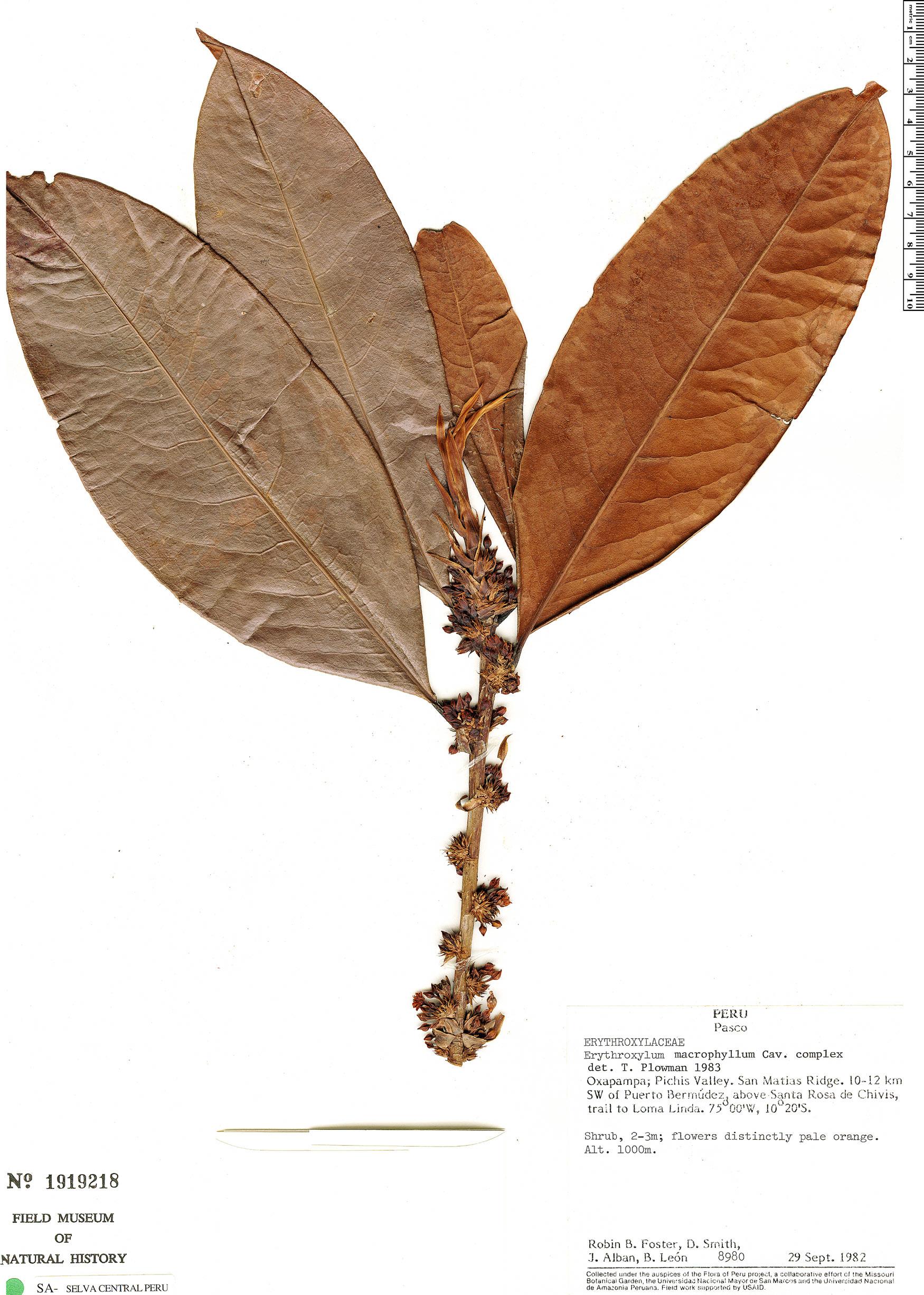 Specimen: Erythroxylum macrophyllum