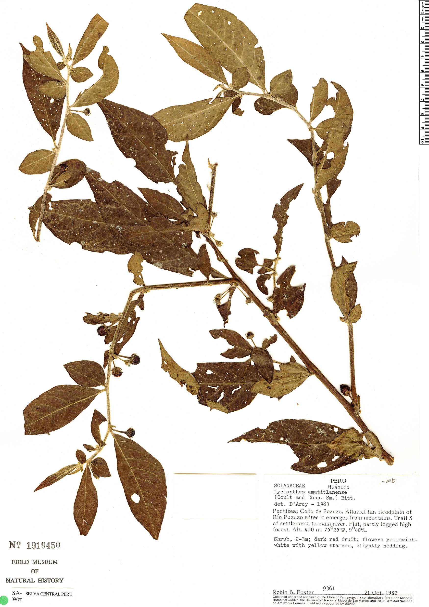Specimen: Lycianthes inaequilatera