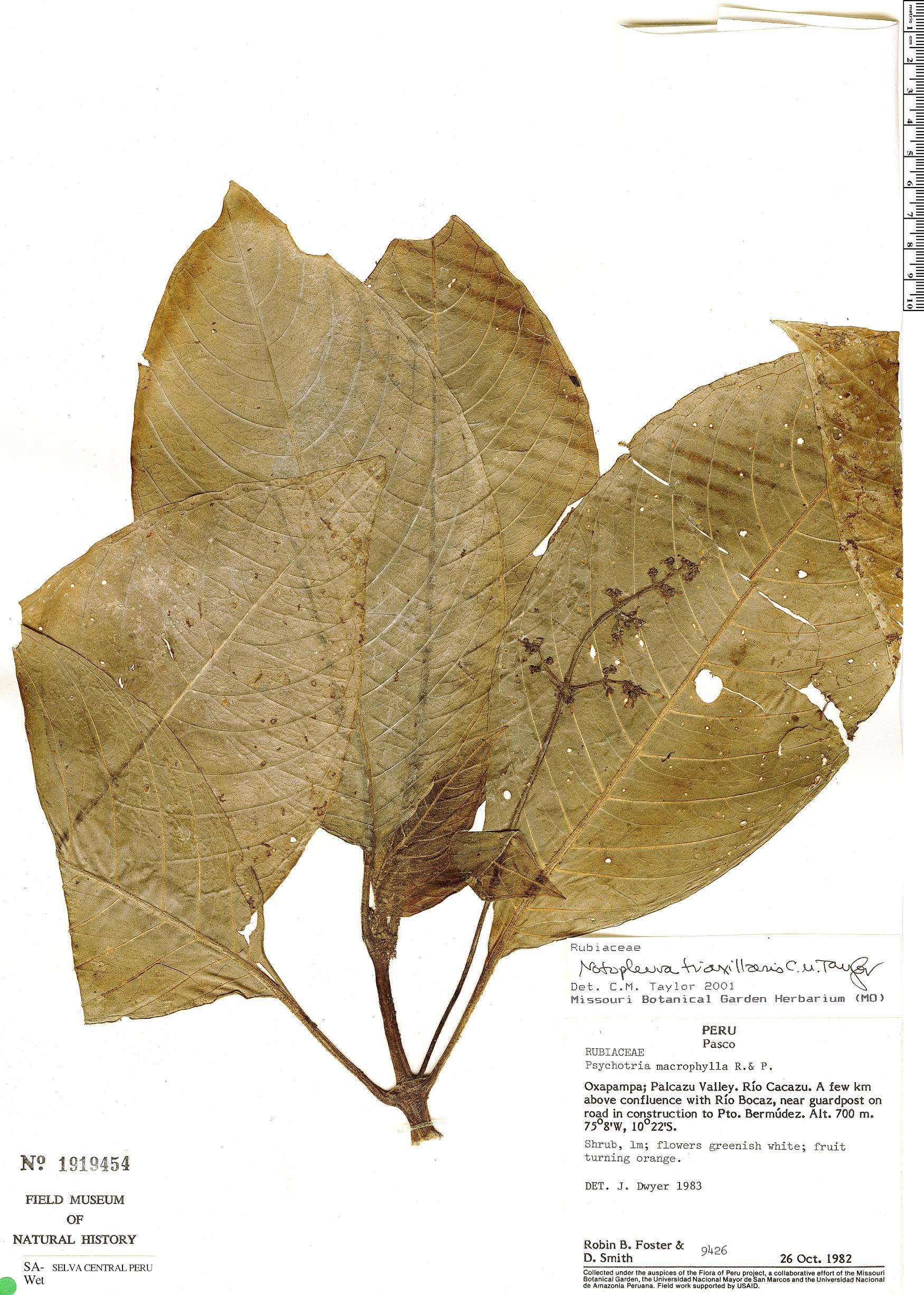 Specimen: Notopleura triaxillaris