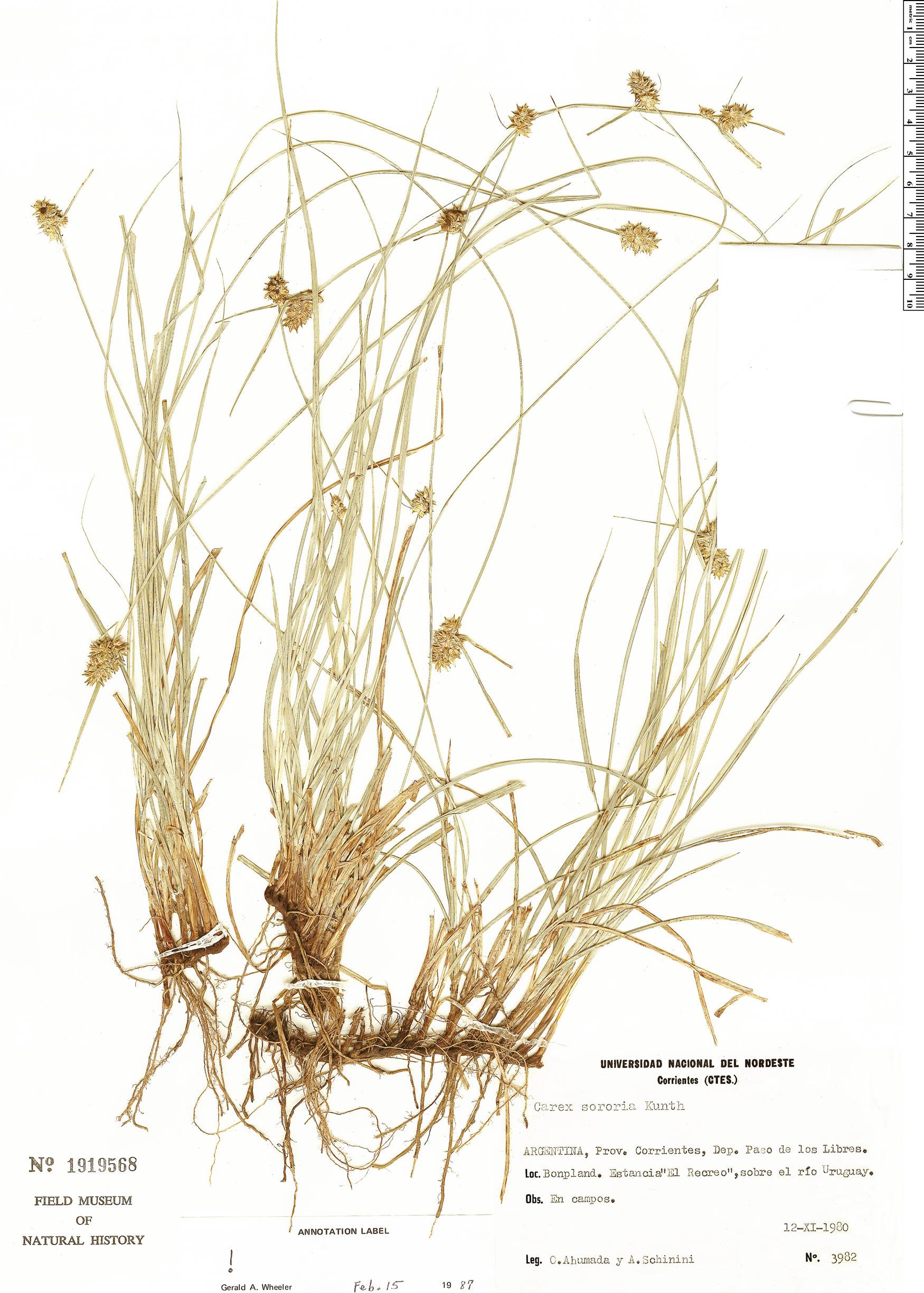 Specimen: Carex sororia