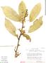 Quararibea guianensis Aubl., Peru, S. R. King 385, F