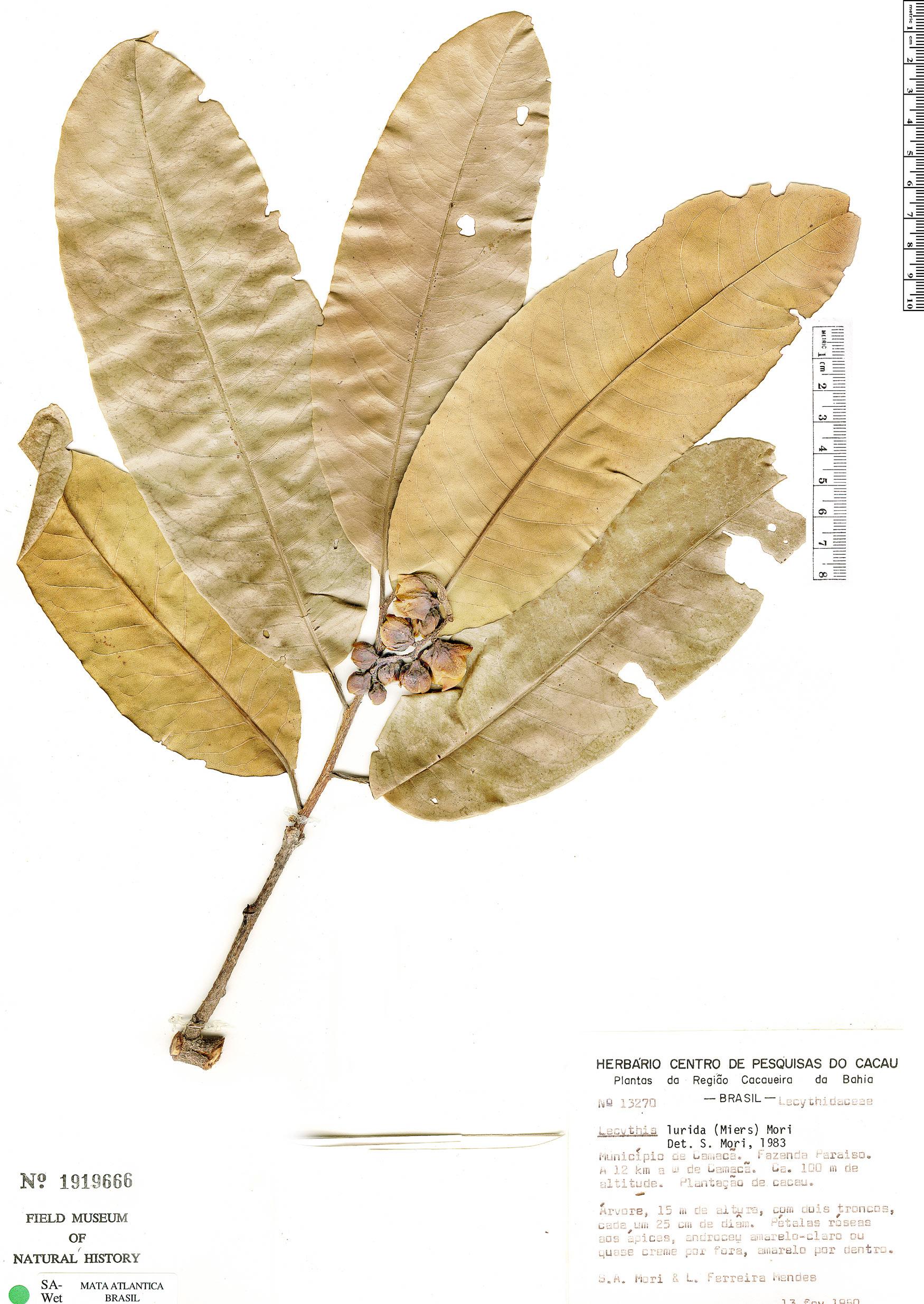Specimen: Lecythis lurida
